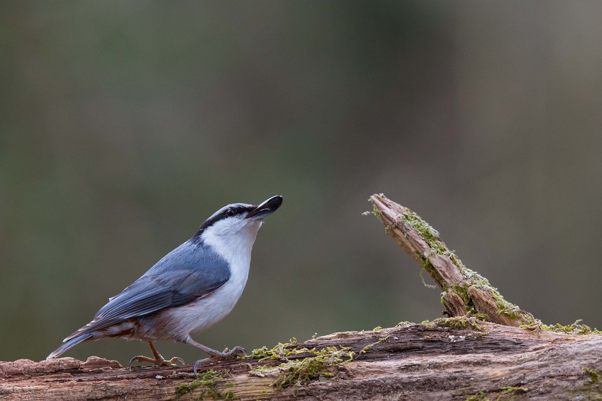 Nuthatch #1 by Mikael Nilsson Photography