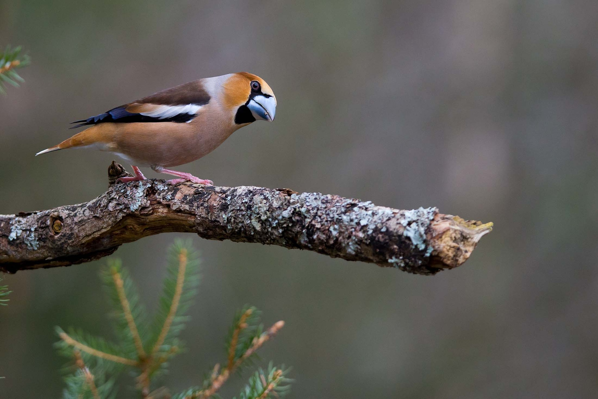Hawfinch #4 by Mikael Nilsson Photography