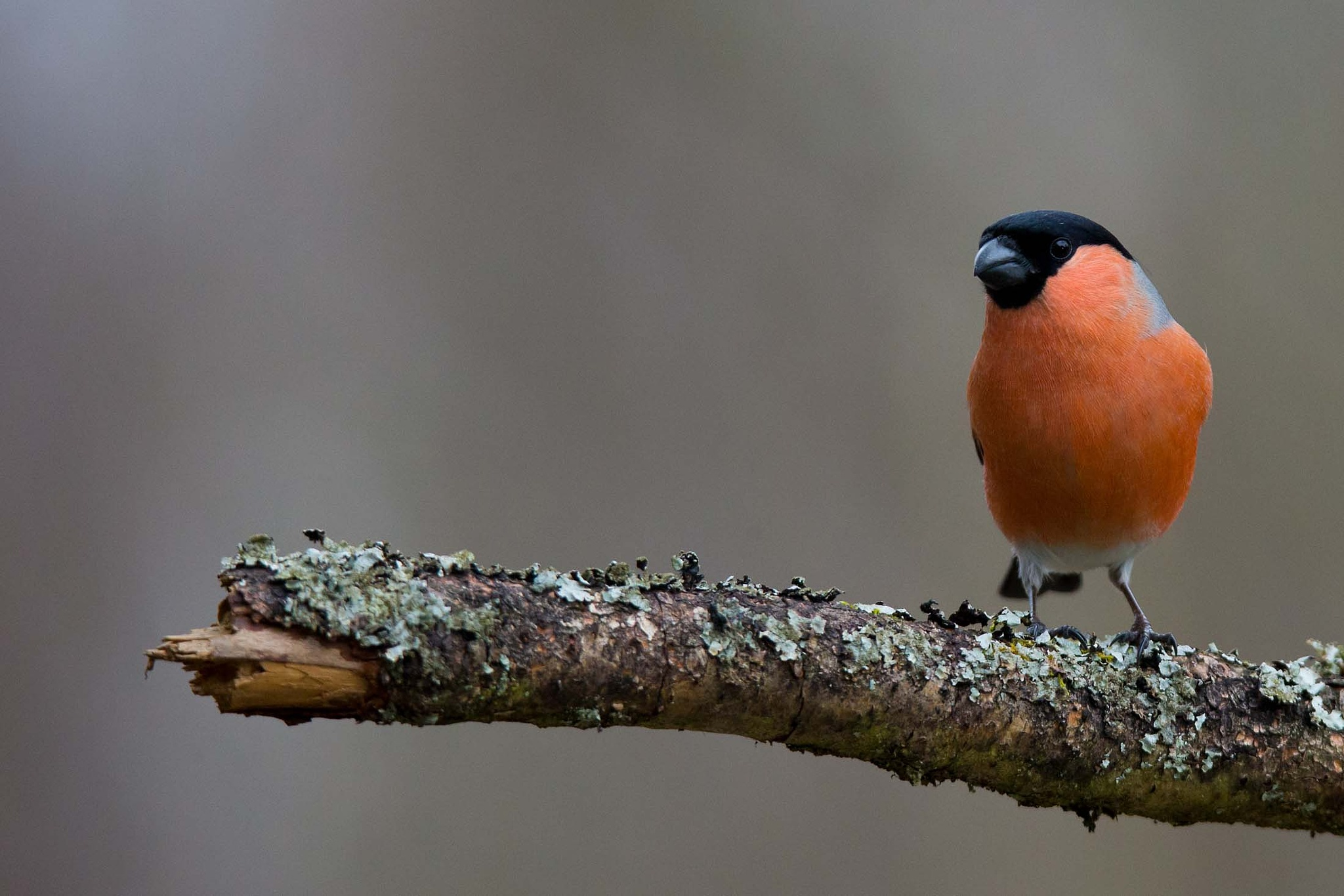 Bullfinch (male) #2 by Mikael Nilsson Photography
