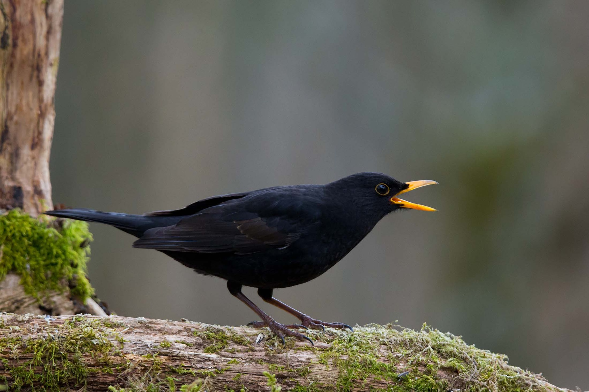 Common blackbird #1 by Mikael Nilsson Photography