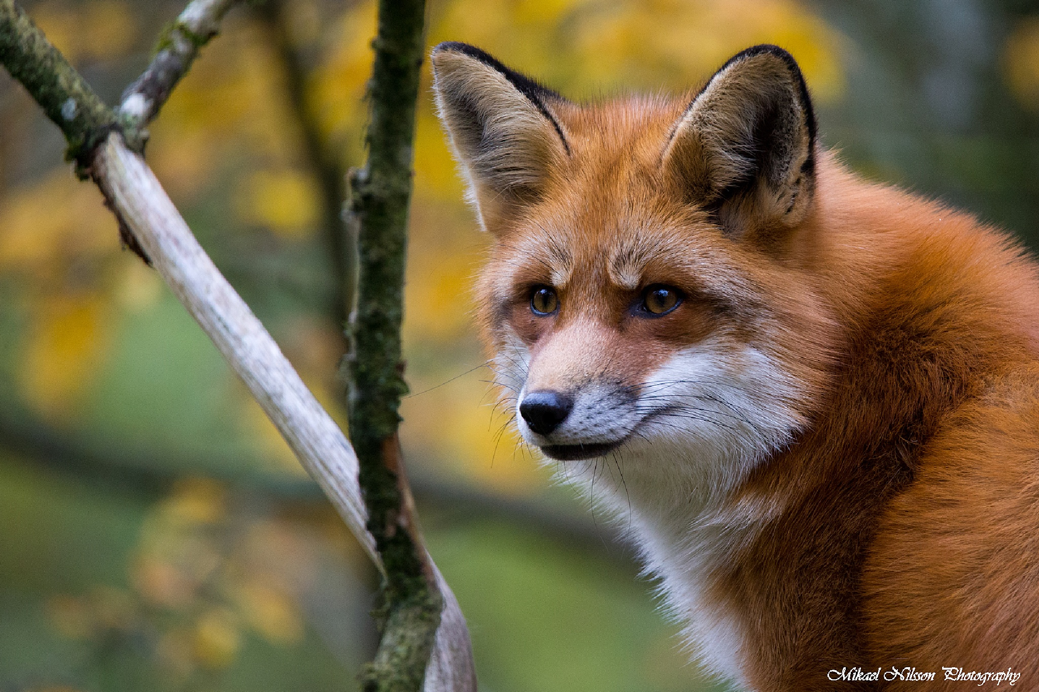 Fox 5 by Mikael Nilsson Photography