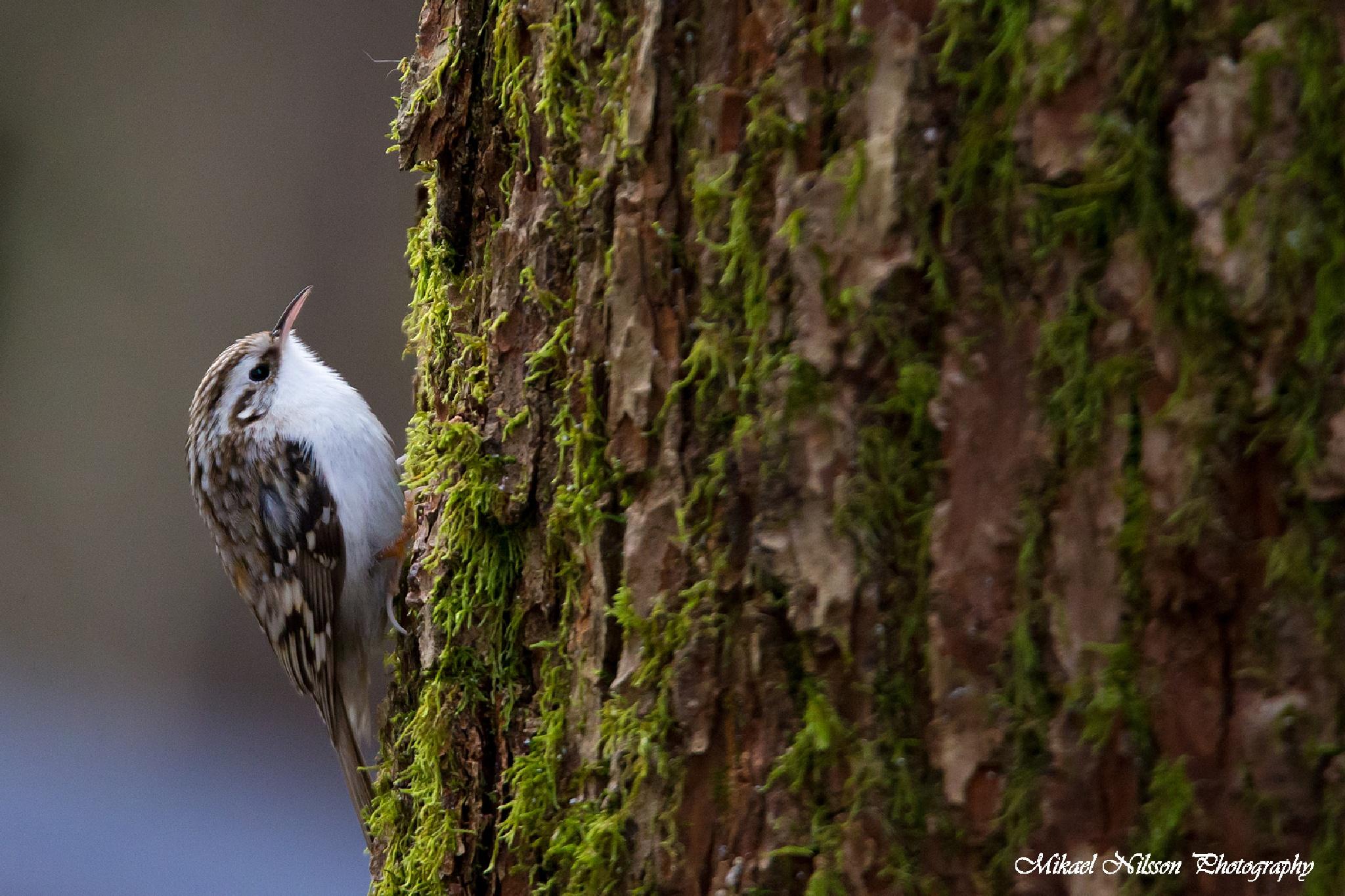 Eurasian treecreeper by Mikael Nilsson Photography