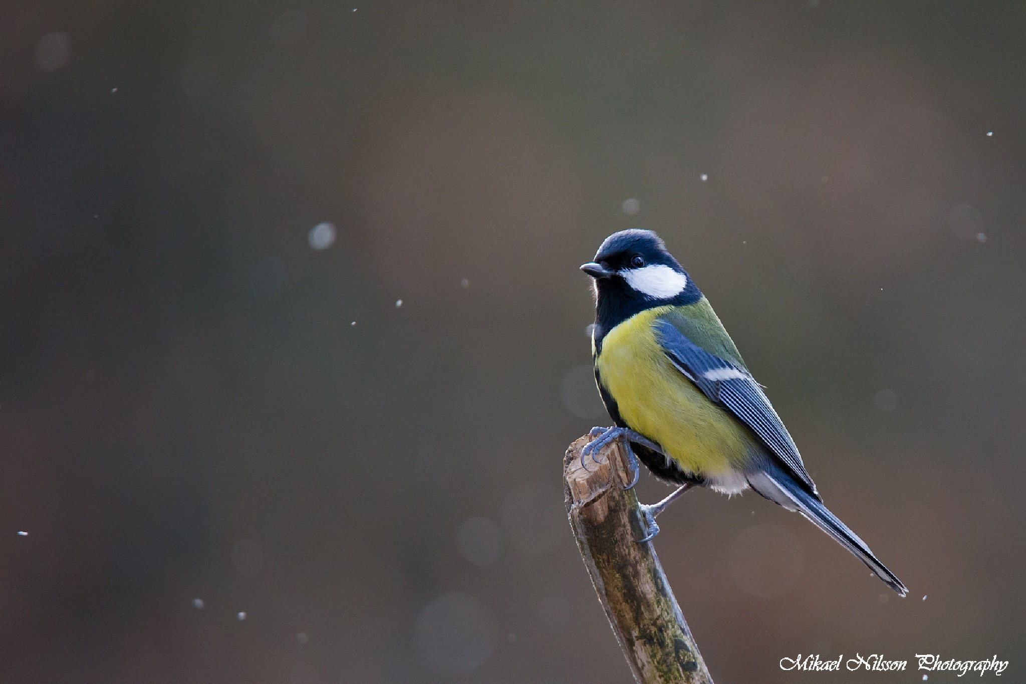 Great tit by Mikael Nilsson Photography