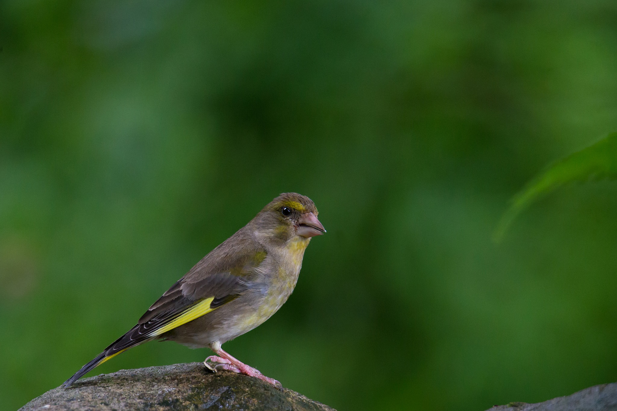 European greenfinch 2 by Mikael Nilsson Photography