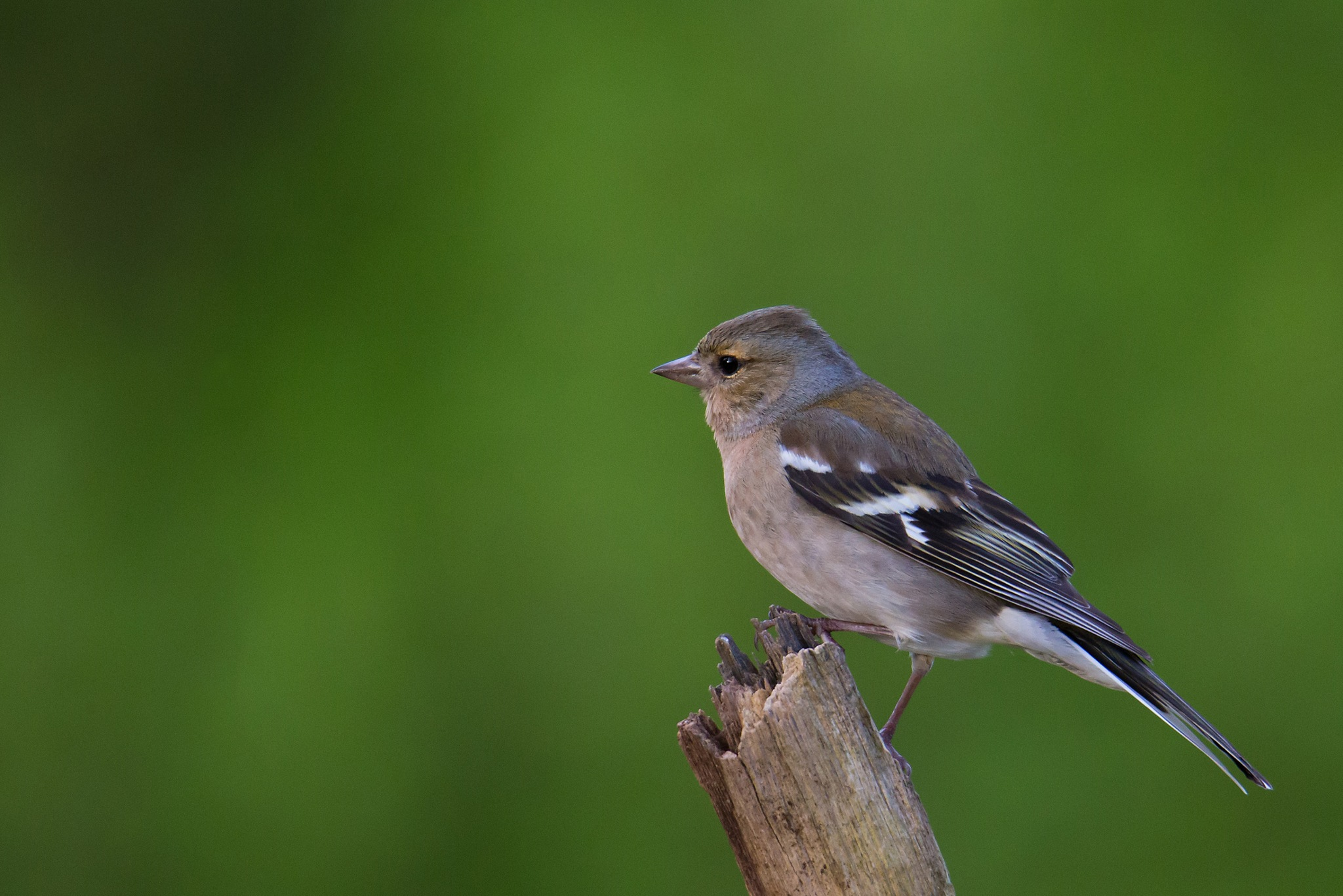 Common chaffinch by Mikael Nilsson Photography