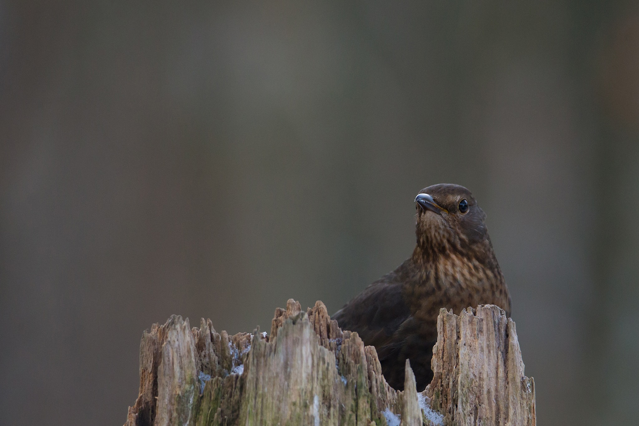 Blackbird by Mikael Nilsson Photography