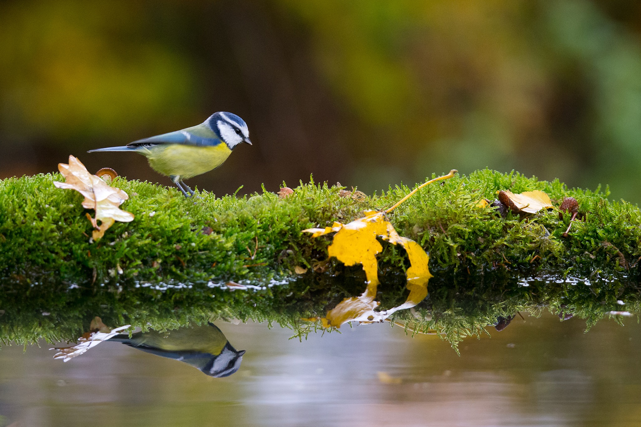 Eurasian blue tit  by Mikael Nilsson Photography