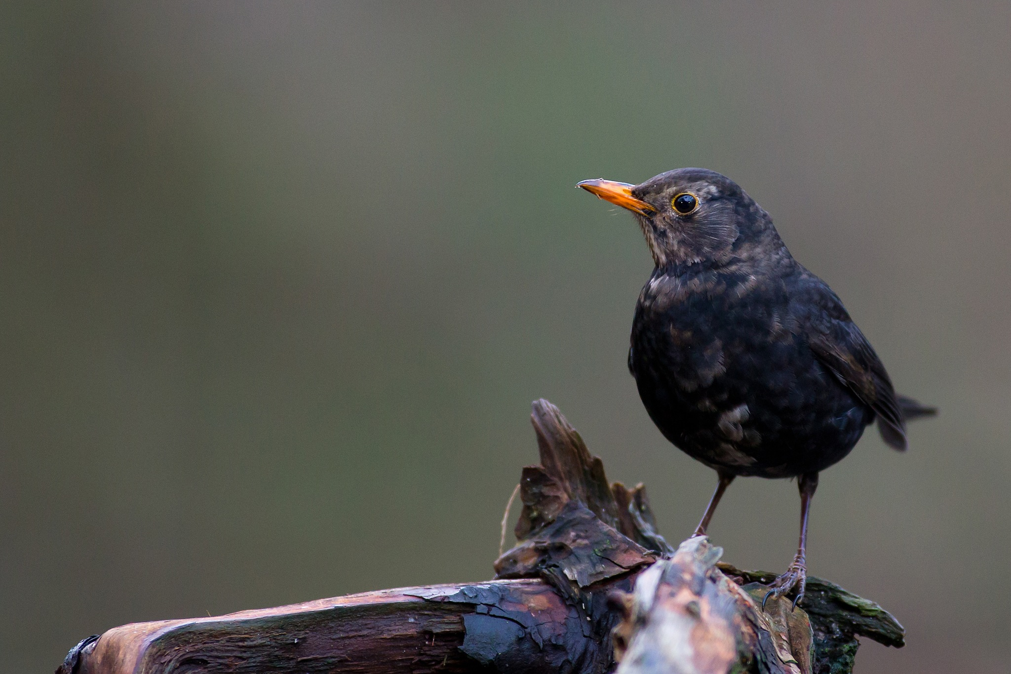 Common blackbird by Mikael Nilsson Photography
