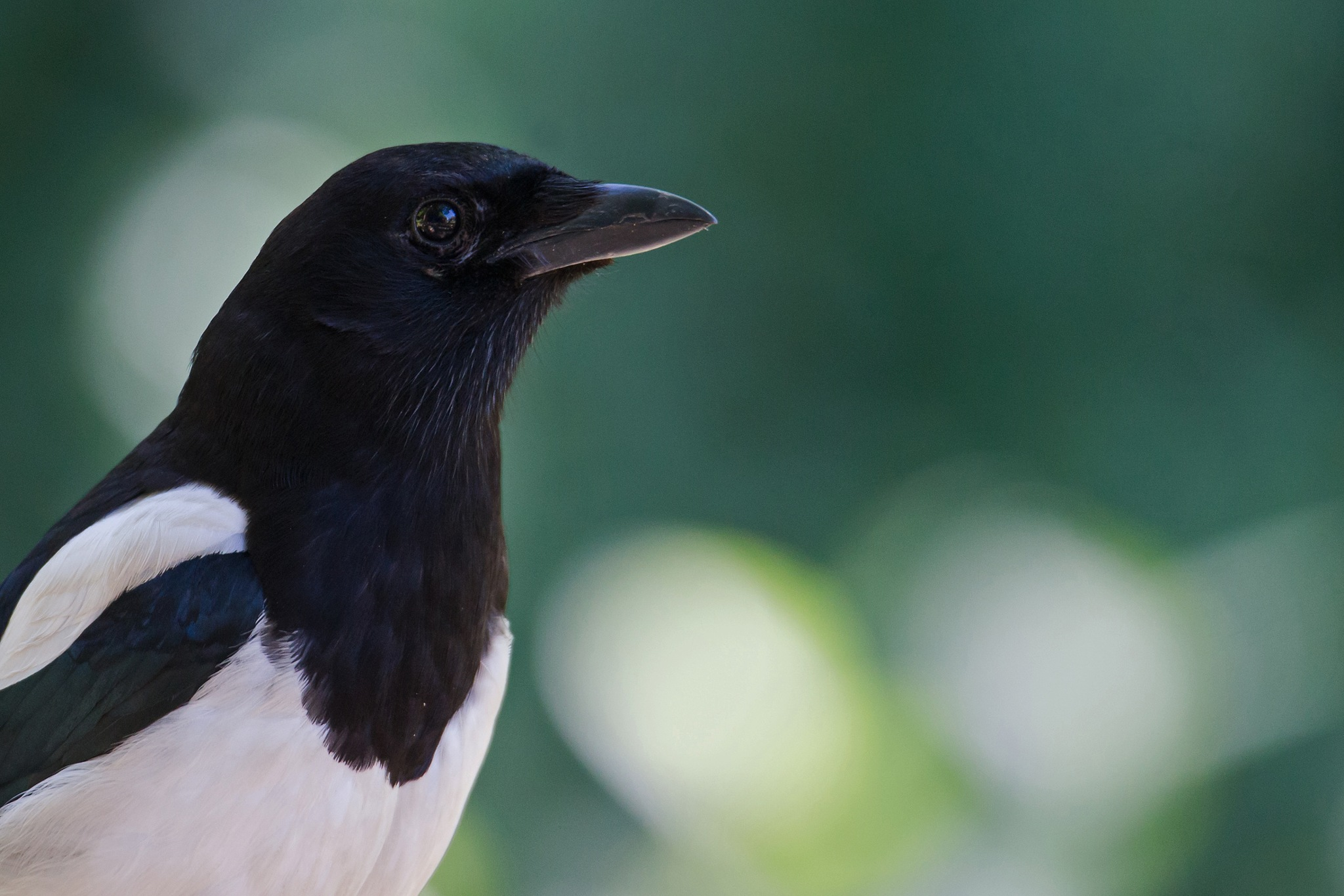 Eurasian magpie by Mikael Nilsson Photography