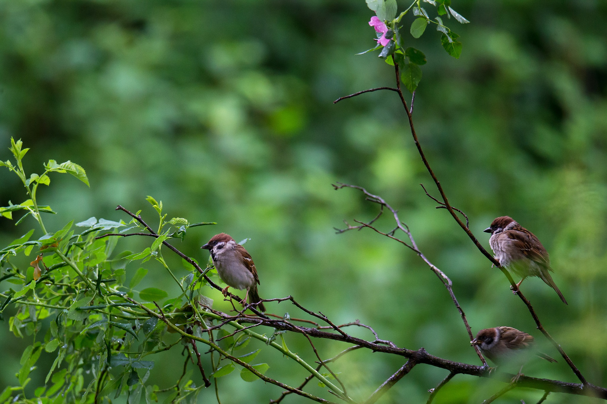 Eurasian tree sparrows by Mikael Nilsson Photography