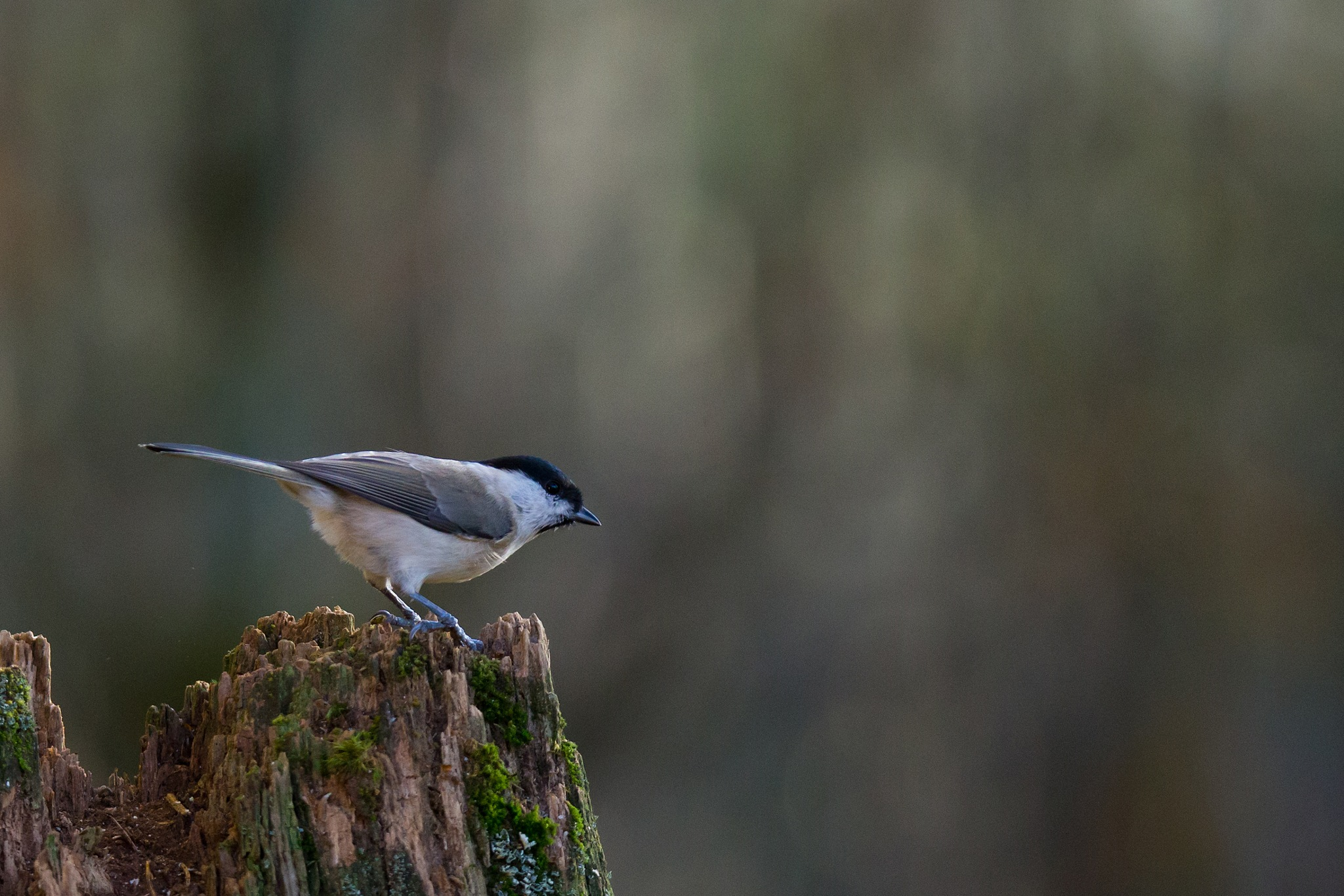 Tit by Mikael Nilsson Photography