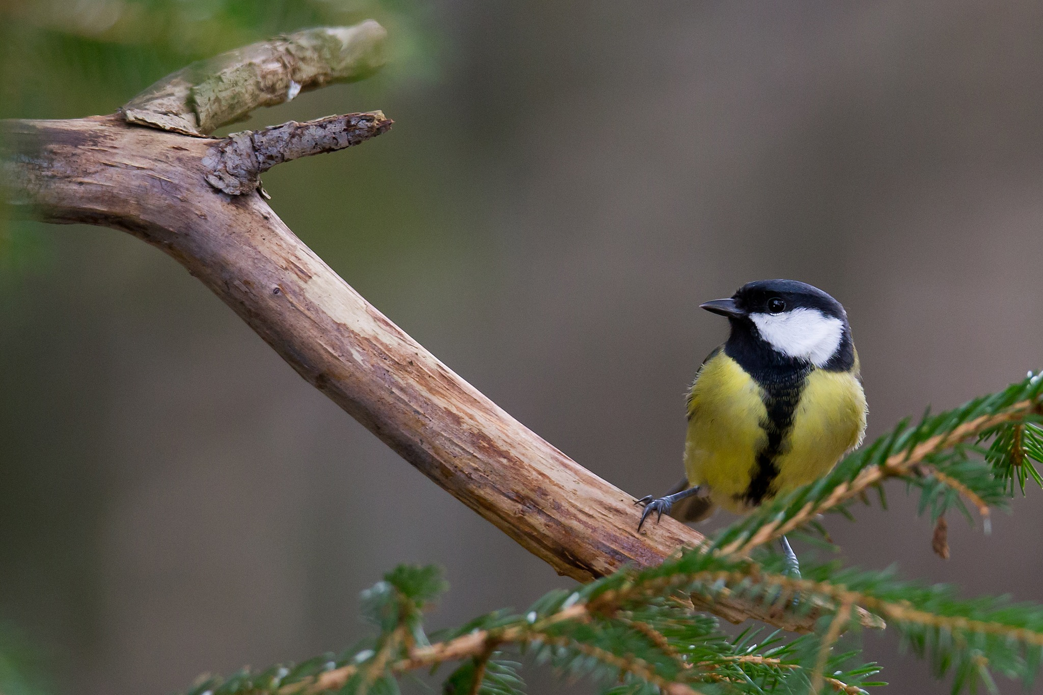 Great tit 2 by Mikael Nilsson Photography