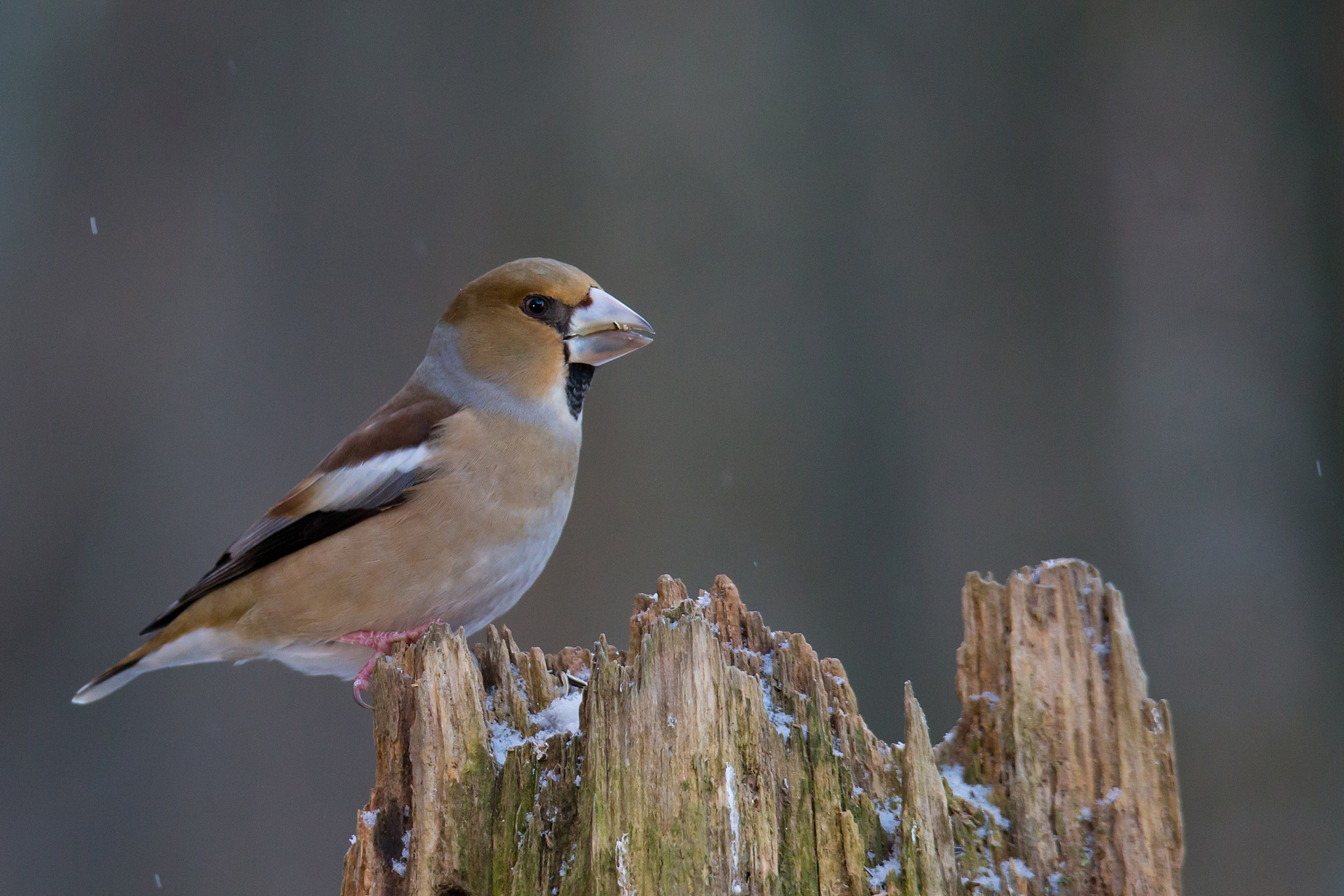 Hawfinch by Mikael Nilsson Photography
