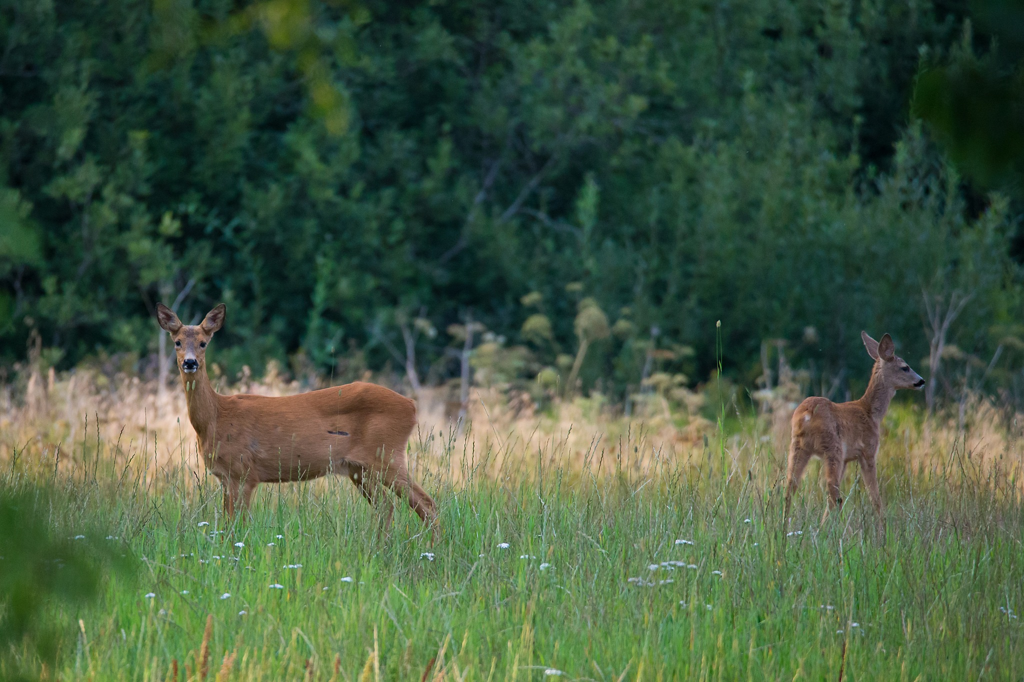 Roe deer by Mikael Nilsson Photography
