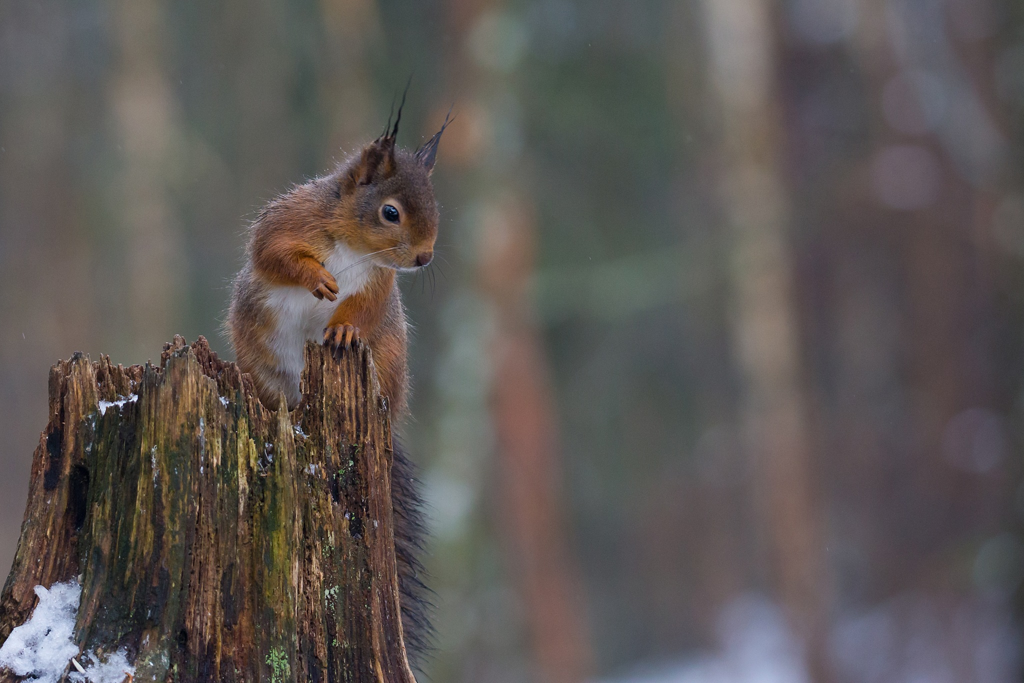 Red squirrel by Mikael Nilsson Photography