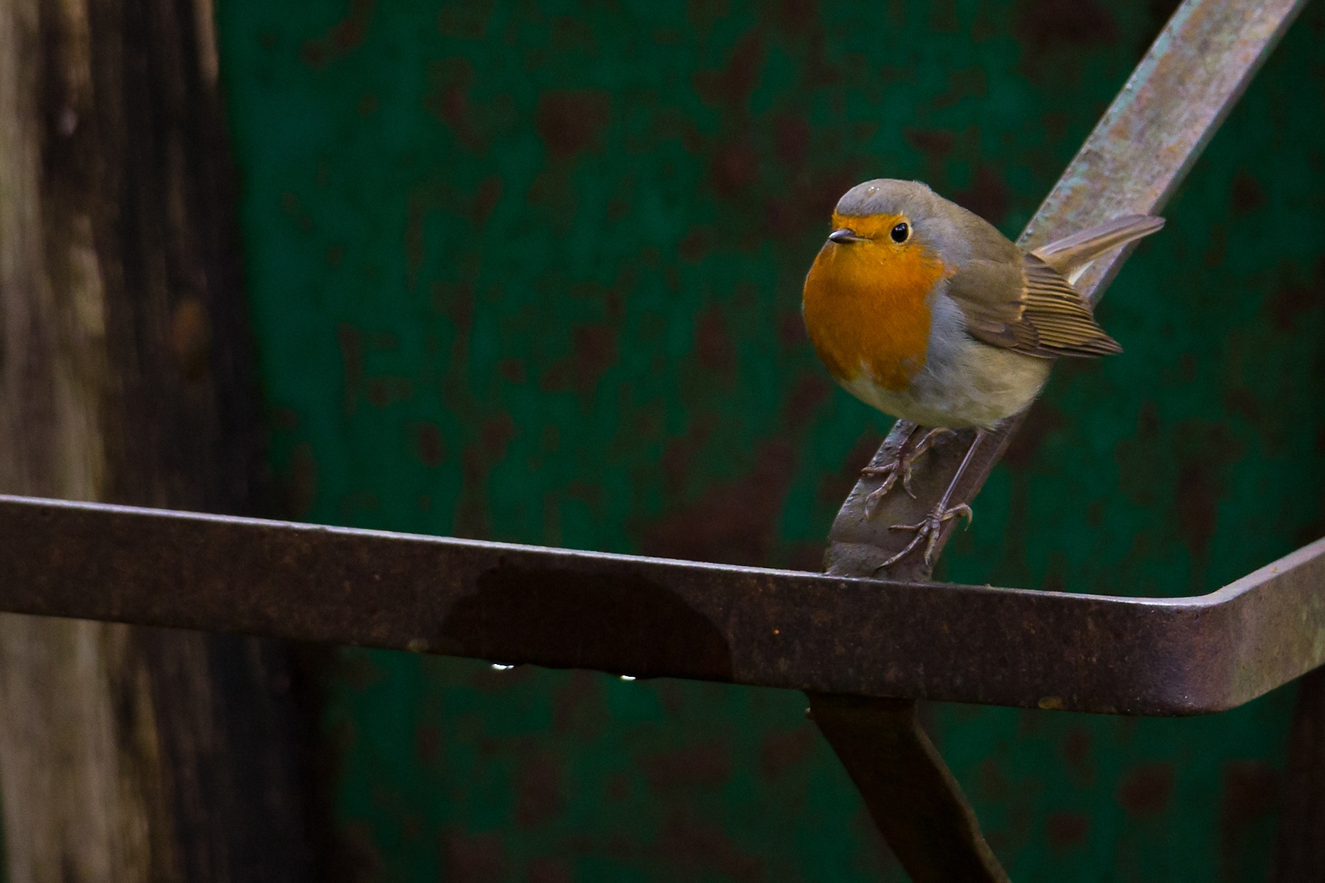 European robin by Mikael Nilsson Photography
