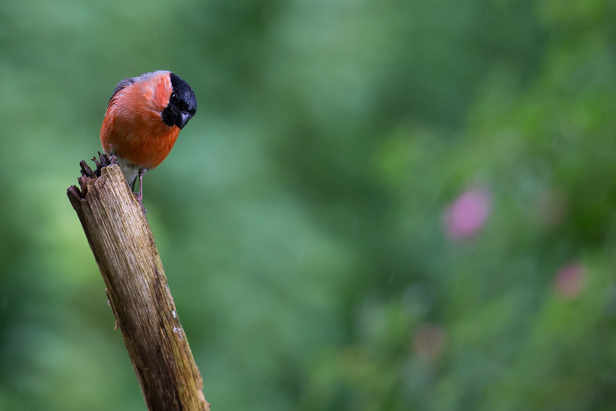 Wet Bullfinch by Mikael Nilsson Photography