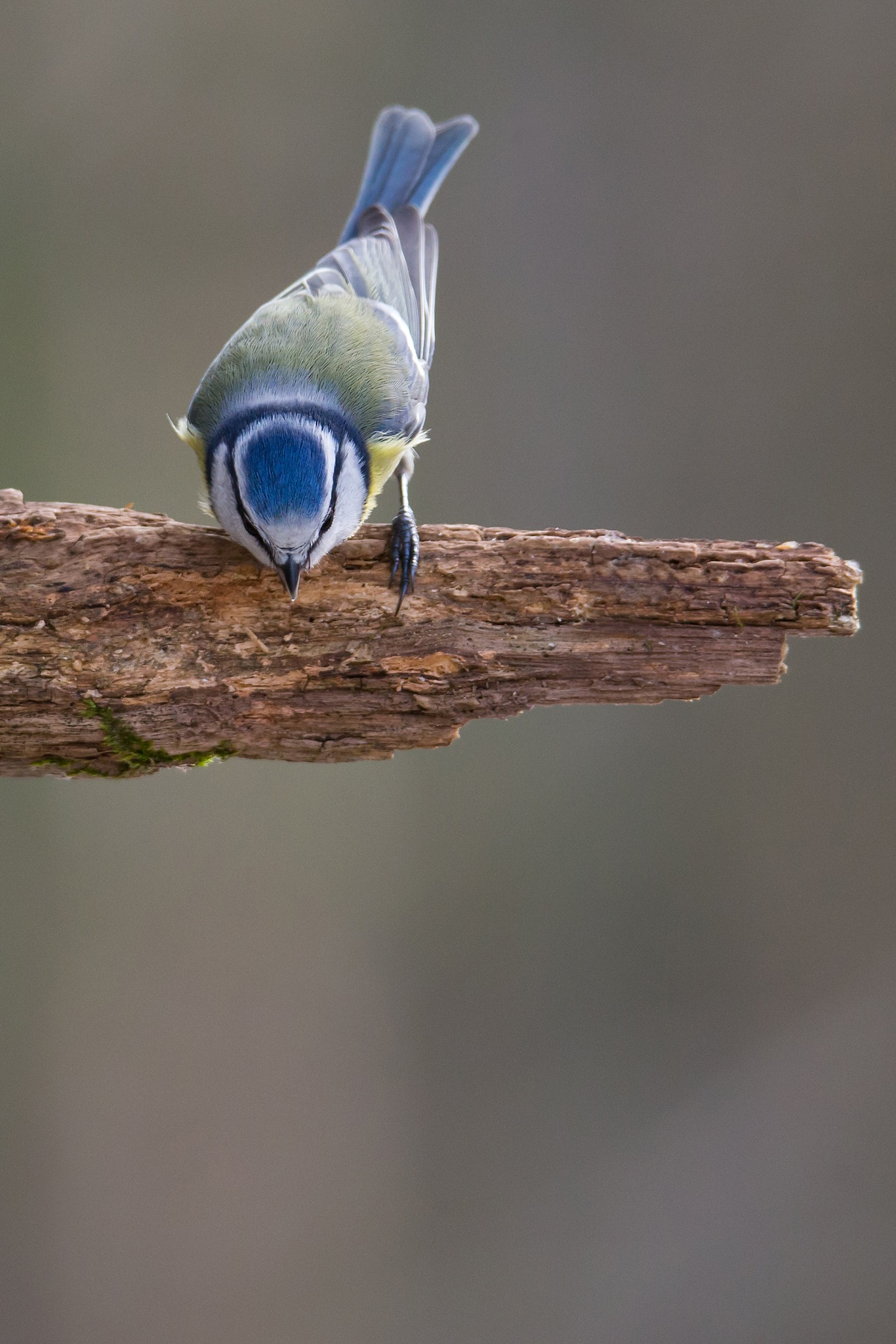Blue tite by Mikael Nilsson Photography