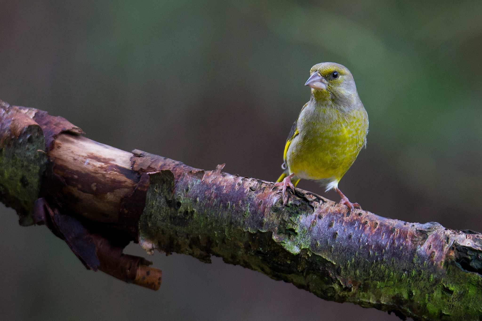 European greenfinch by Mikael Nilsson Photography