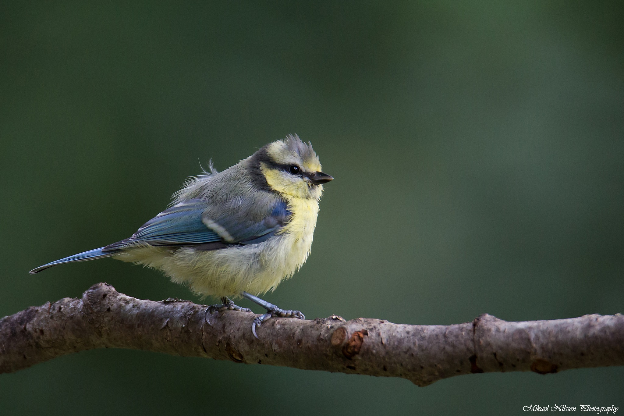 Young Blue tit by Mikael Nilsson Photography