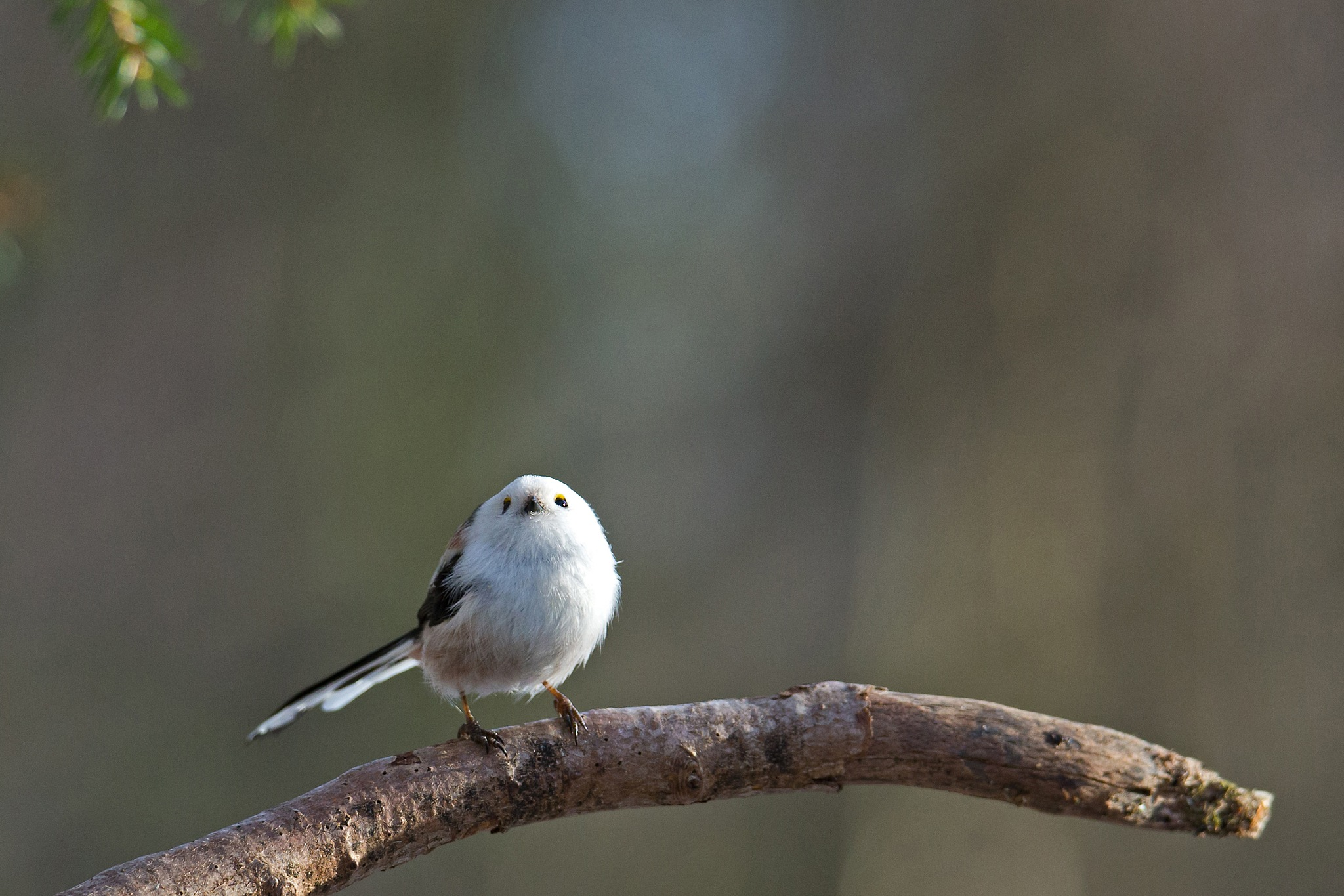 Long-tailed tit by Mikael Nilsson Photography