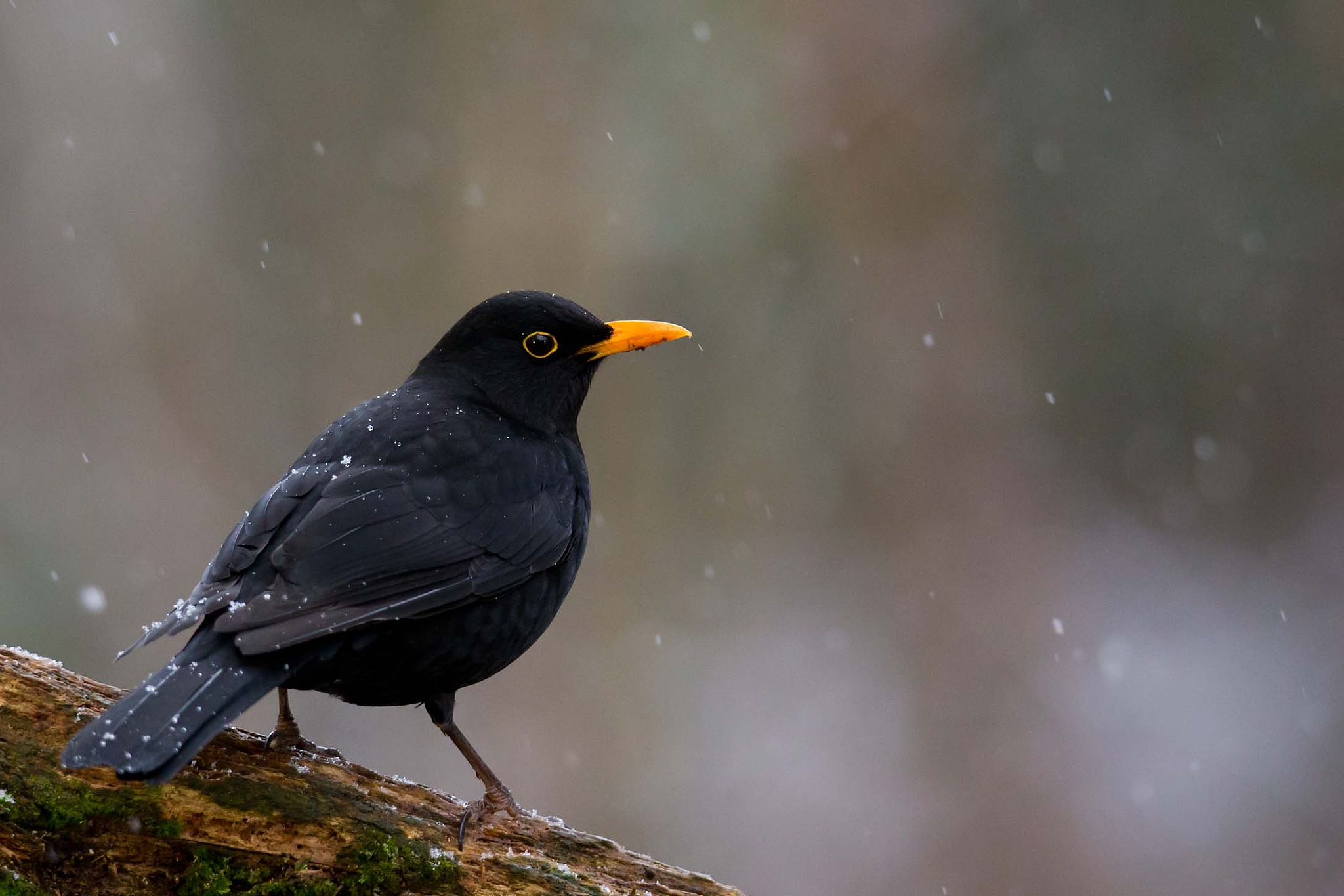 Blackbird in the light morning snow by Mikael Nilsson Photography