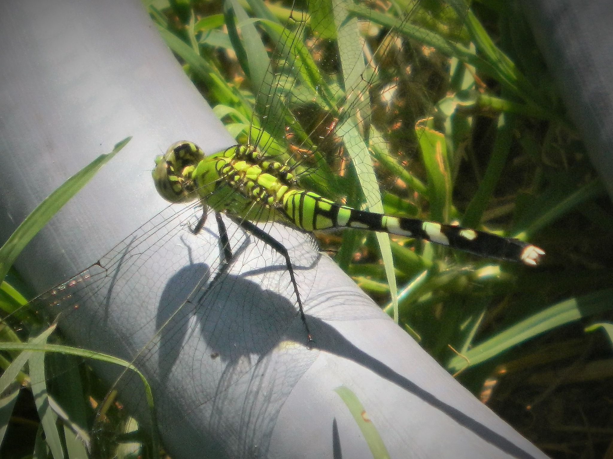 Green Dragon fly by getta.stephens