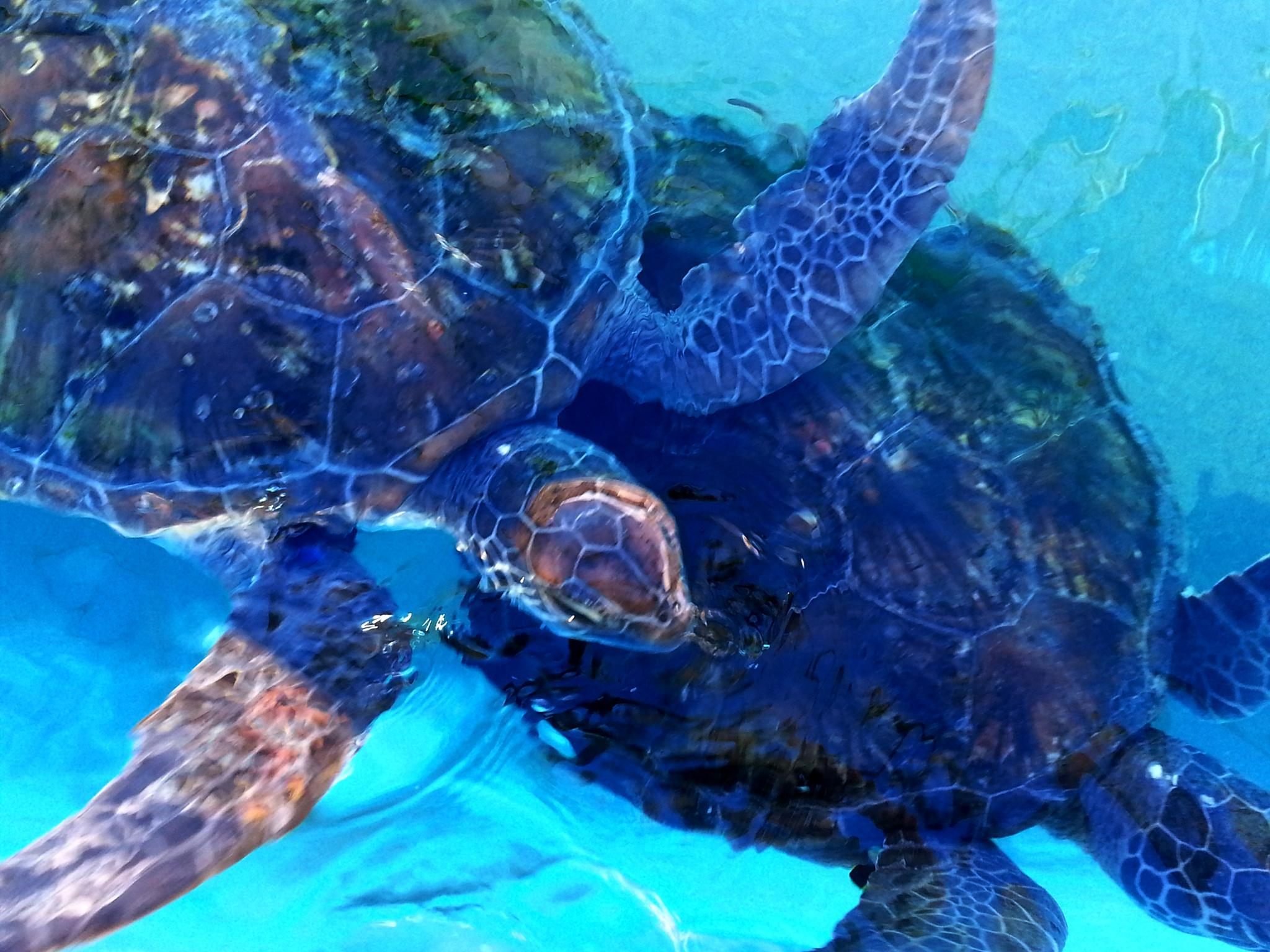 Green Sea Turtle by AussieImages