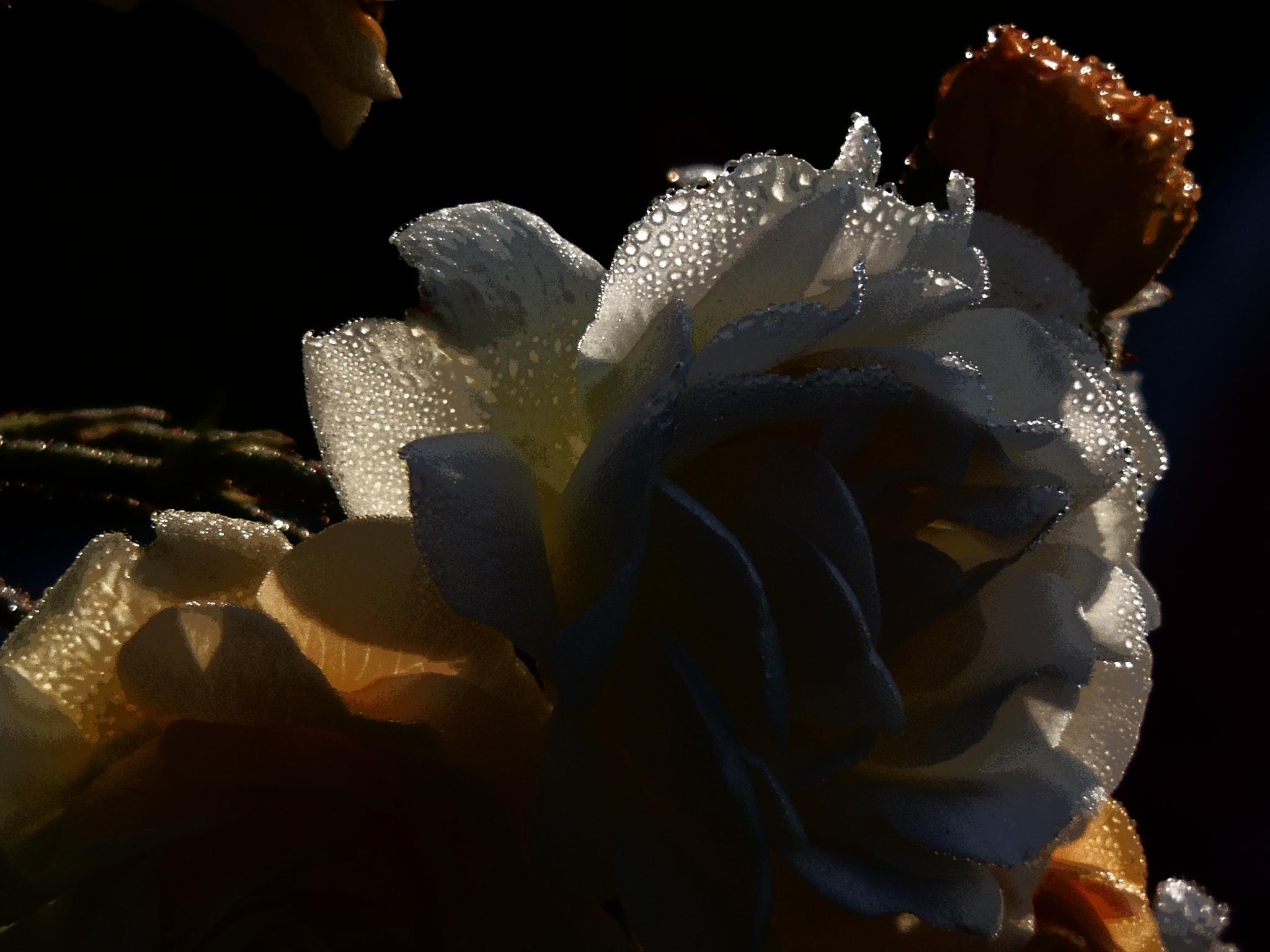 Morningroses by hyttanders