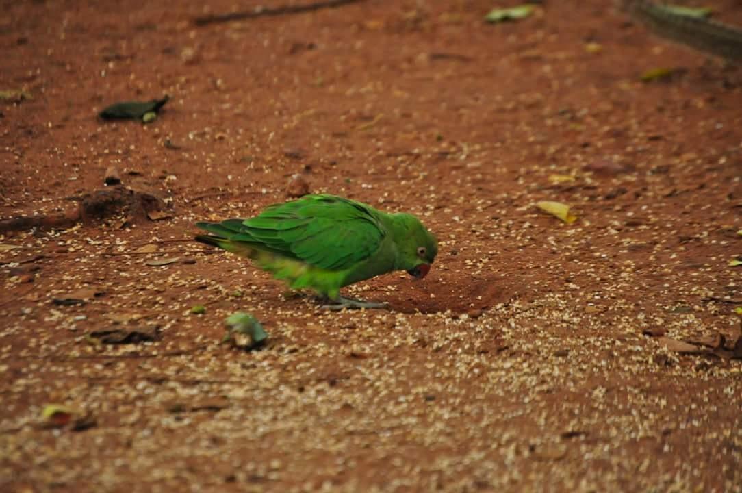 Photo in Animal #parrot #cubbonpark #nature #travel #bangalore #india