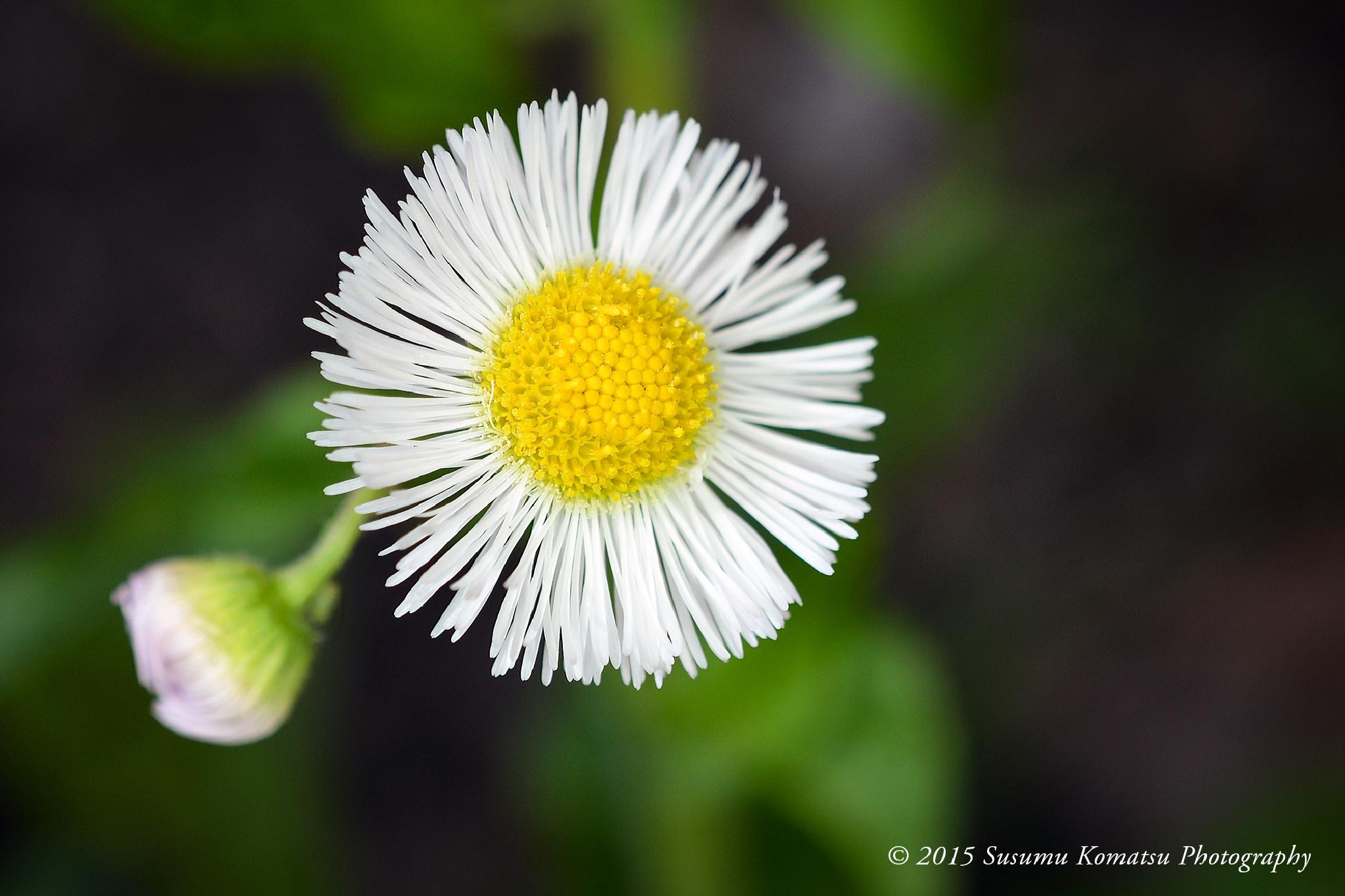 Daisy by Susumu Komatsu