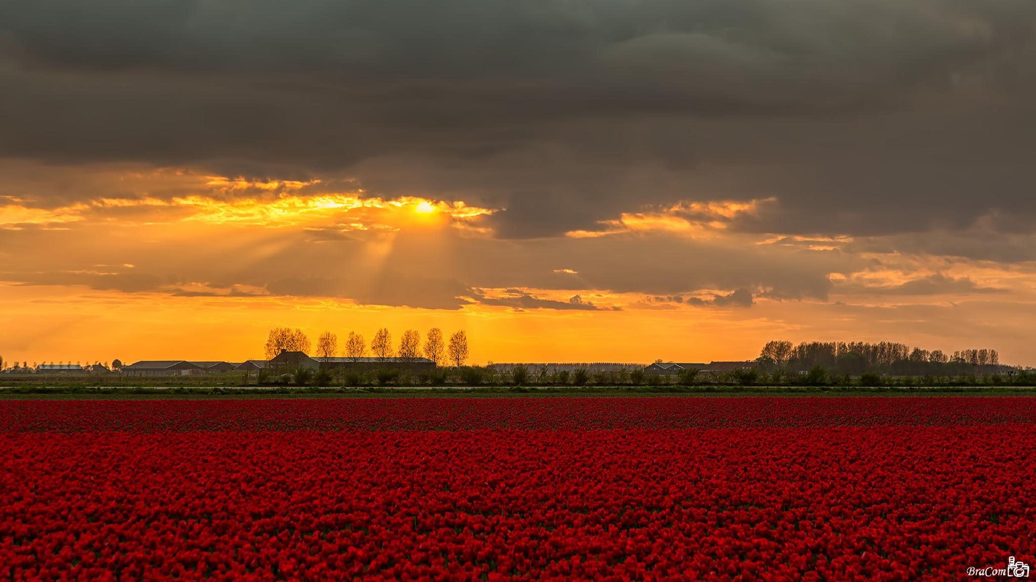 Sunset, Clouds and Tulips by Bram van Broekhoven