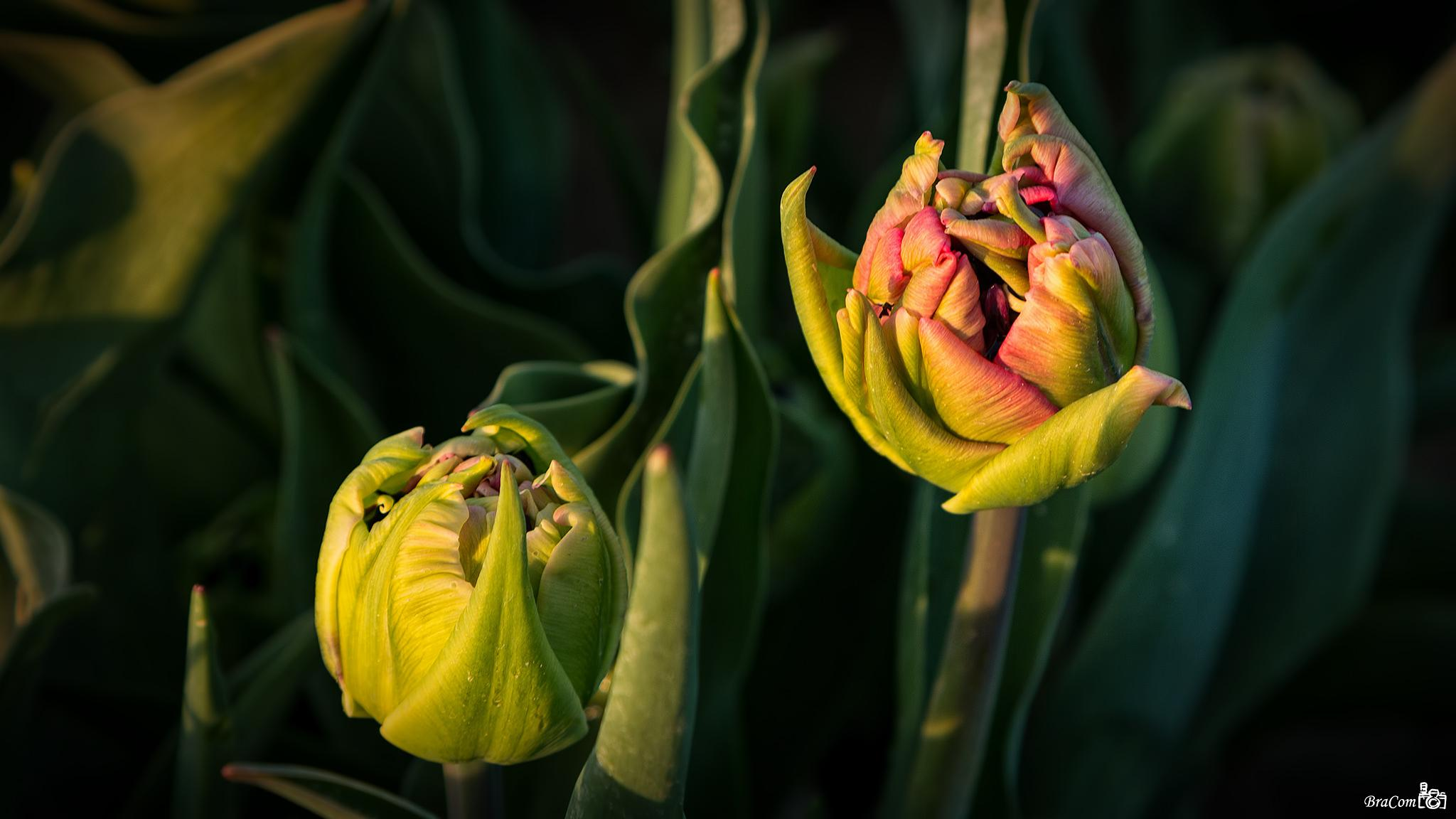Tulip still in bud, the first of 2015 by Bram van Broekhoven