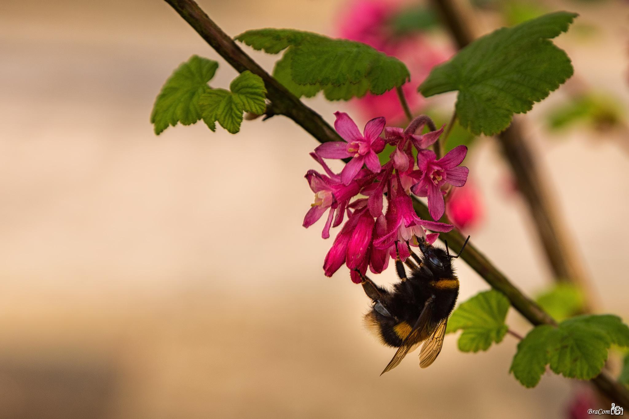 Bumblebee by Bram van Broekhoven