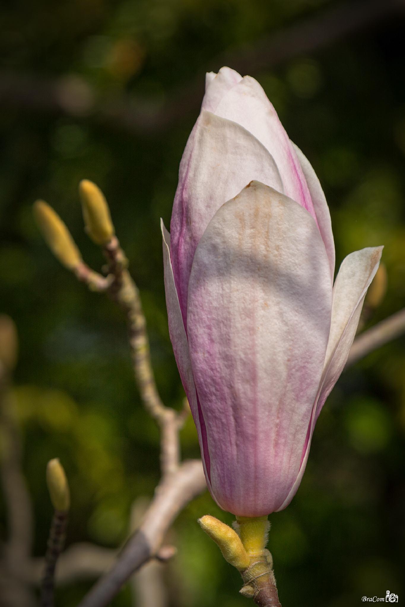 Magnoliaceae by Bram van Broekhoven