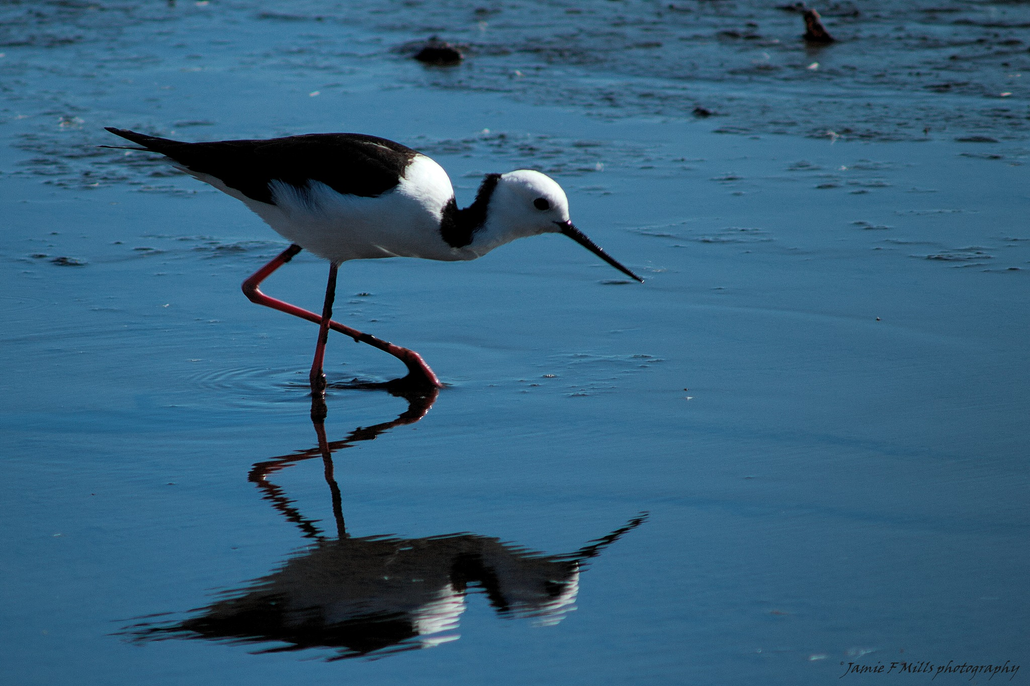 Black winged Stilt (c) by Jamie Mills