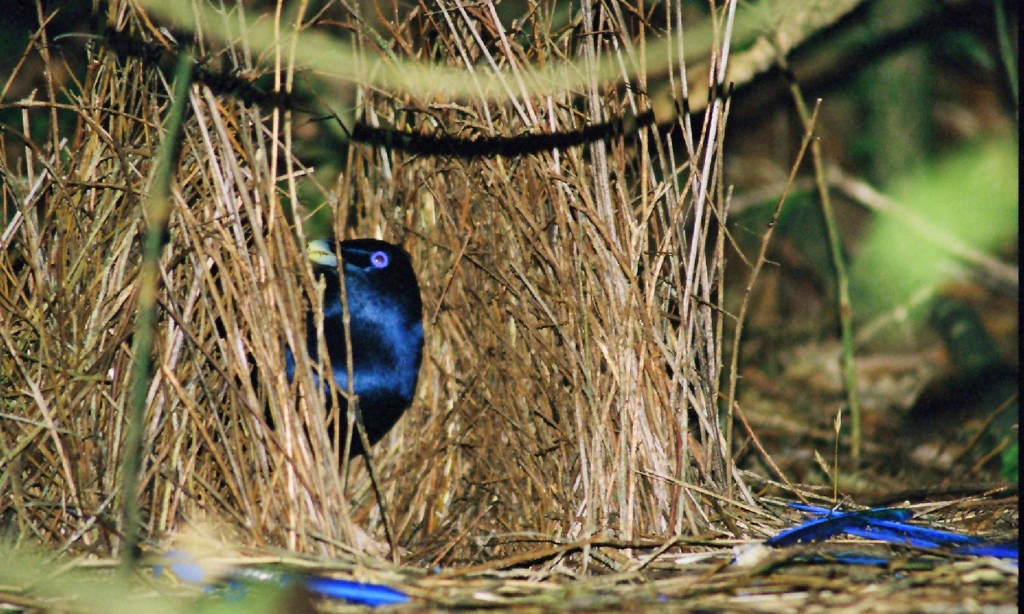 Satin bower bird by Jamie Mills