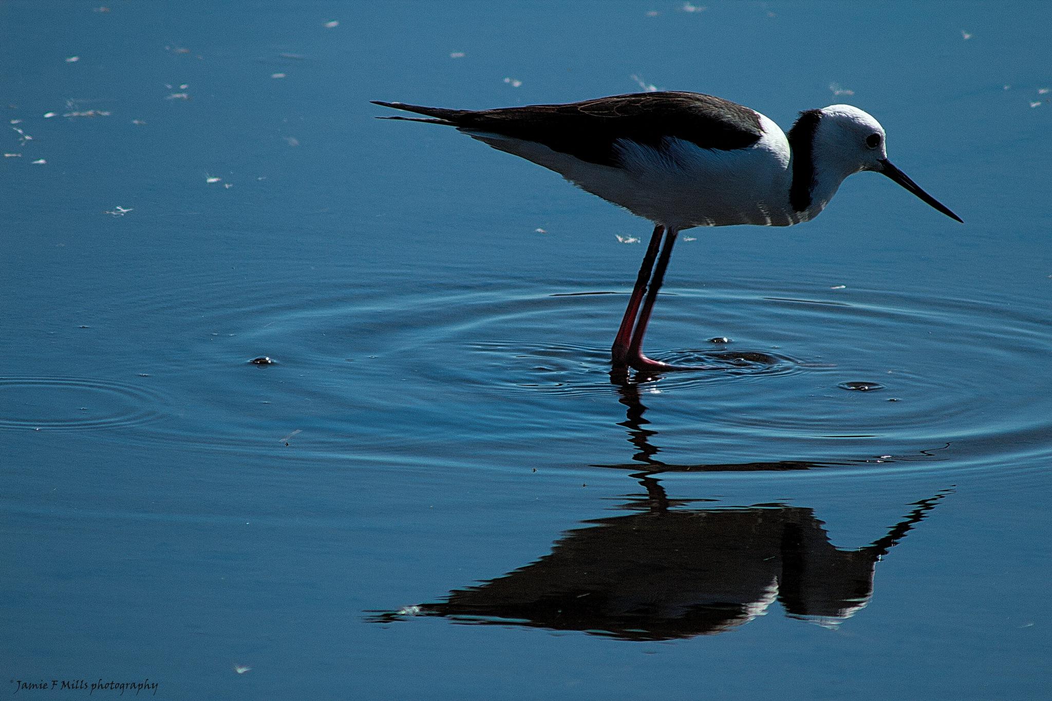 Black winged stilt (D) by Jamie Mills