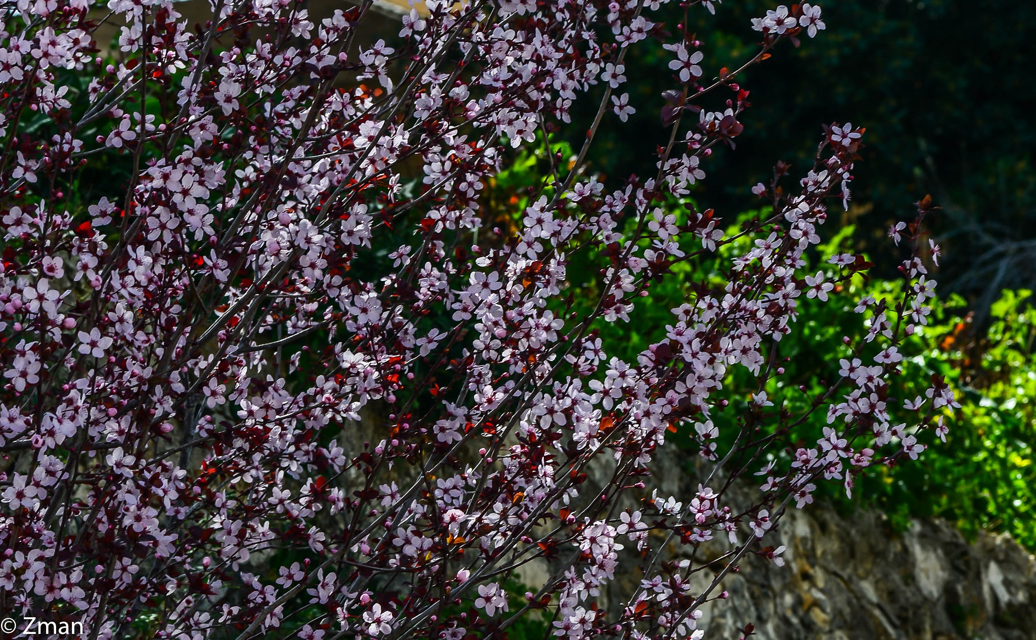 Pink Flowers are Plenty by muhammad.nasser.963