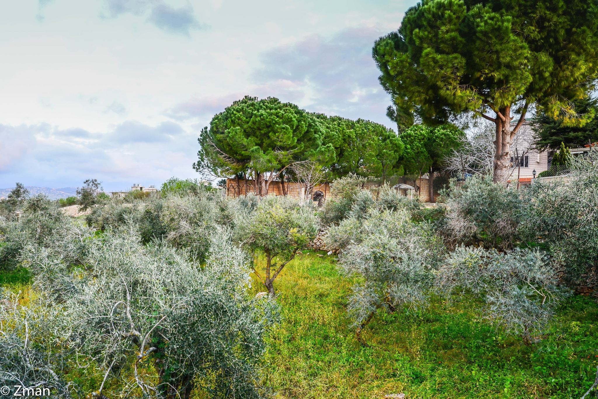 Olive and Pine Trees by muhammad.nasser.963