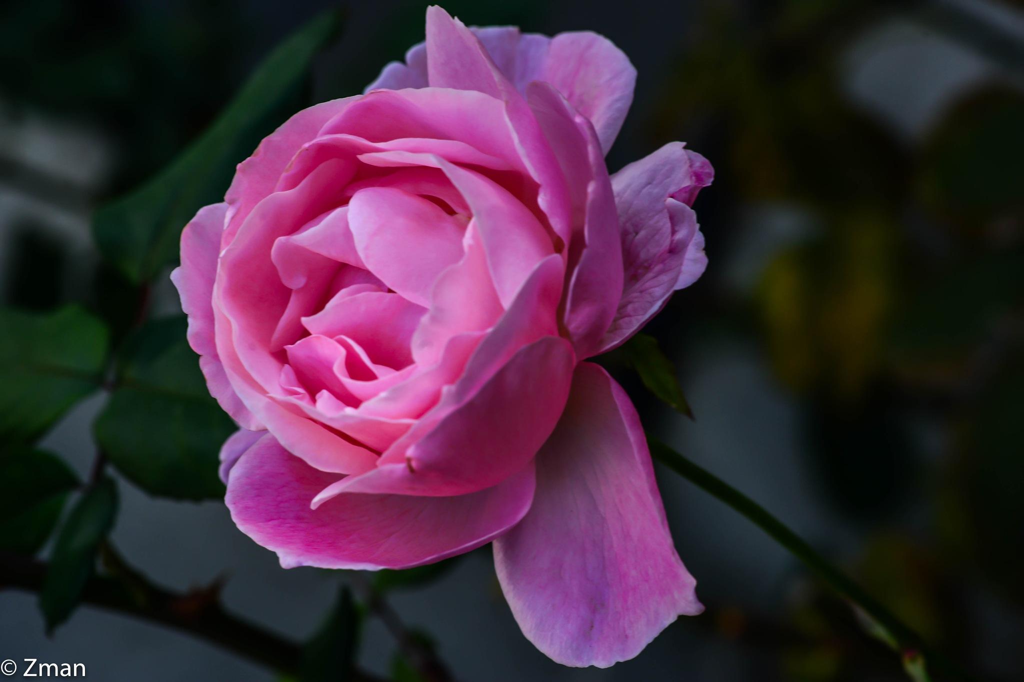 All Pink by muhammad.nasser.963