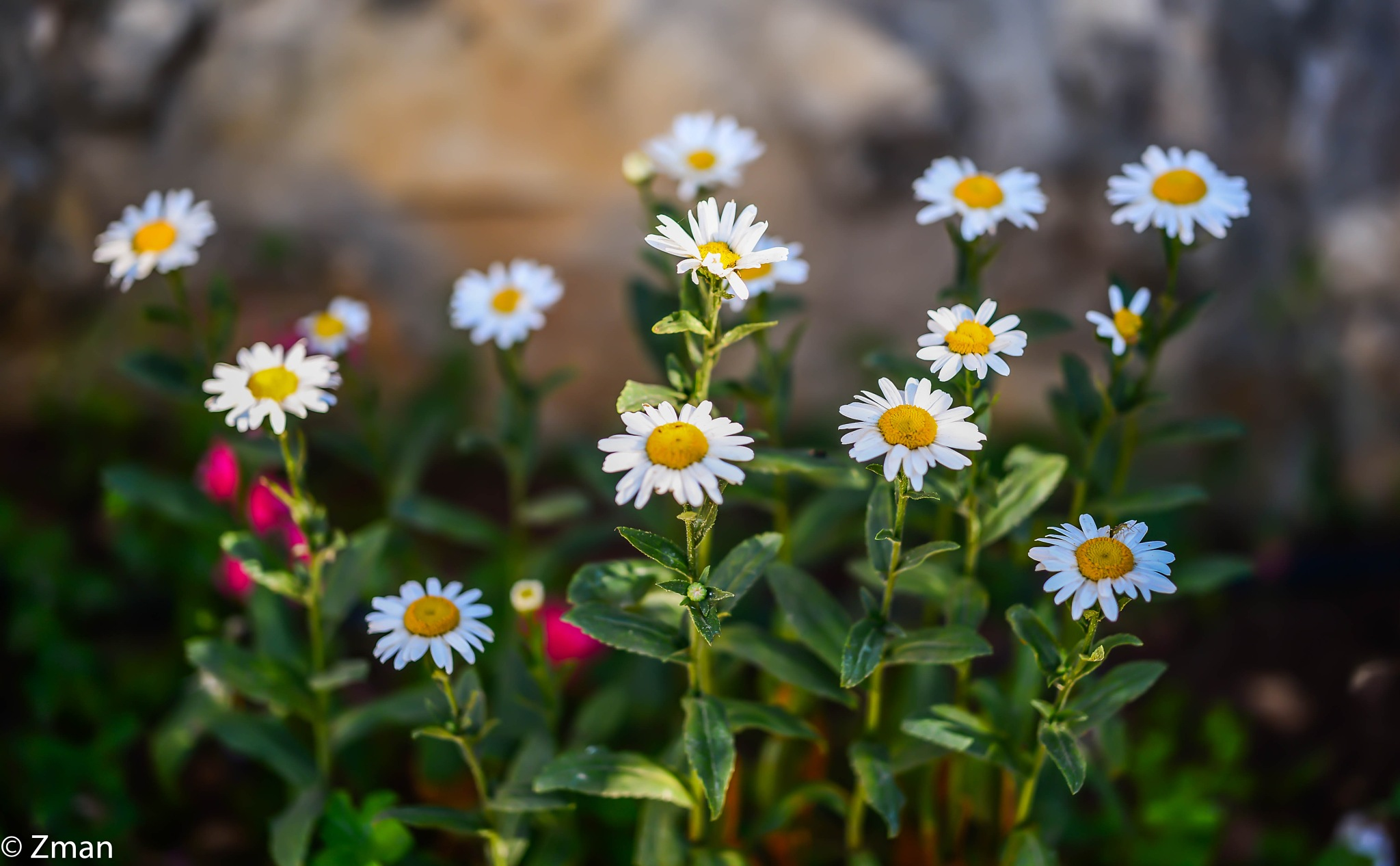 Group Of White Flowers by muhammad.nasser.963