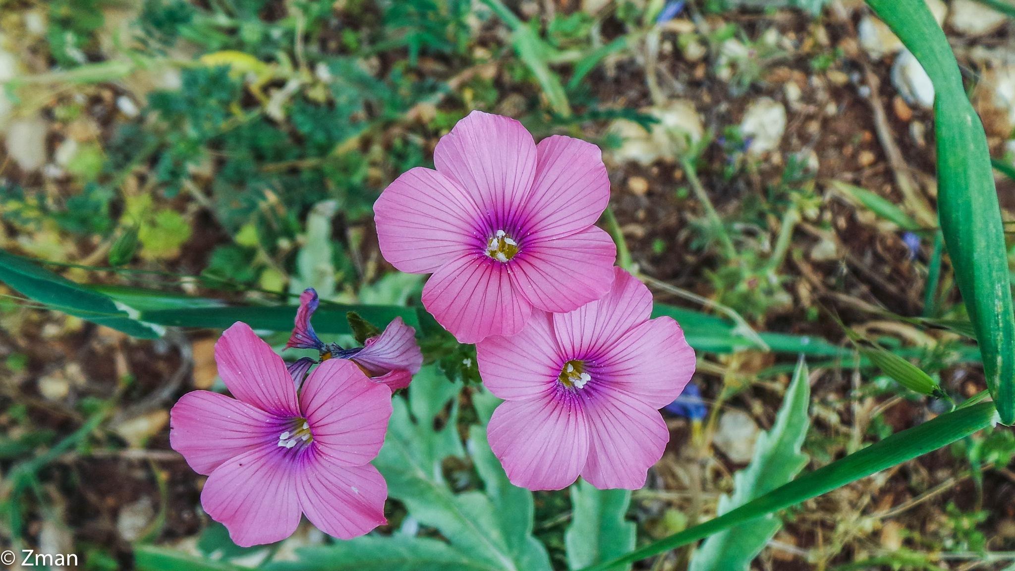 Three Pink Wild Flowers by muhammad.nasser.963