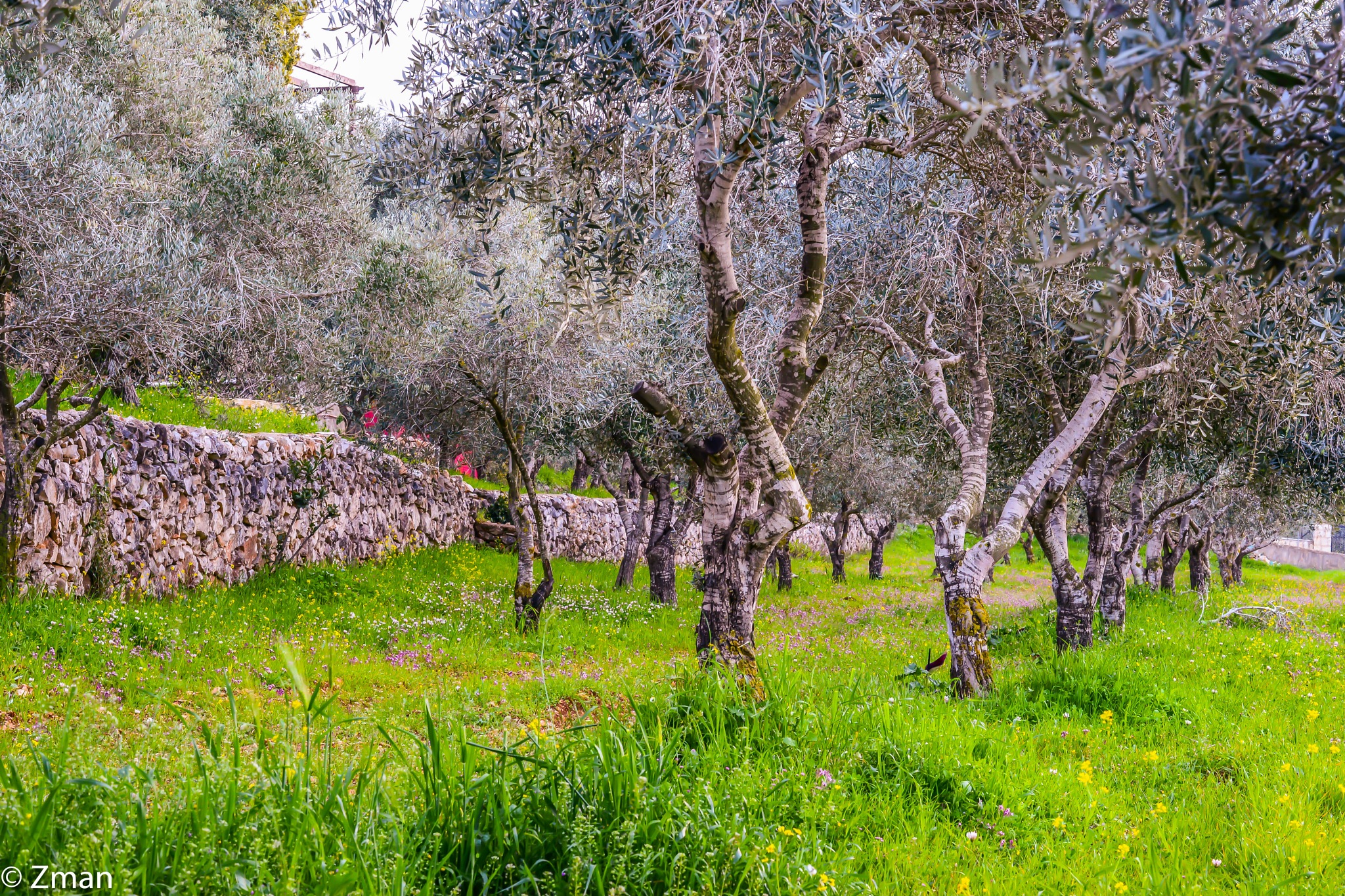 Olive trees in Spring by muhammad.nasser.963