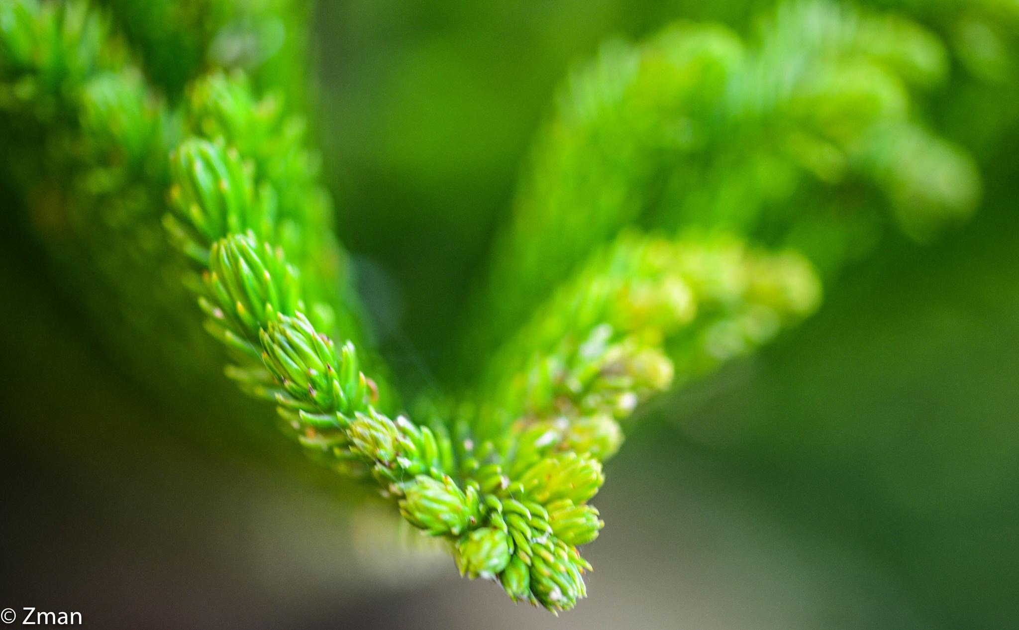 Evergreen by muhammad.nasser.963
