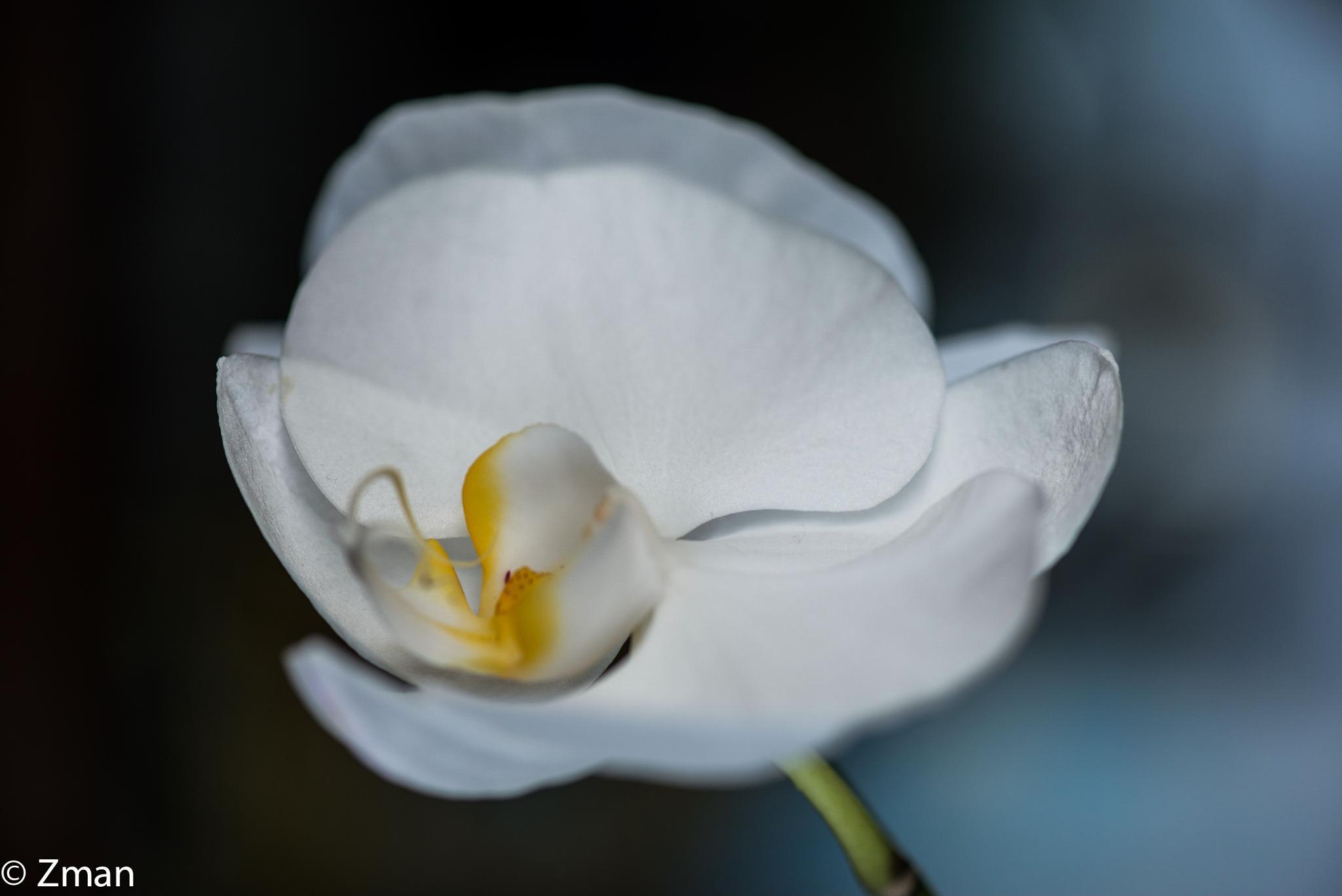 White Ires by muhammad.nasser.963