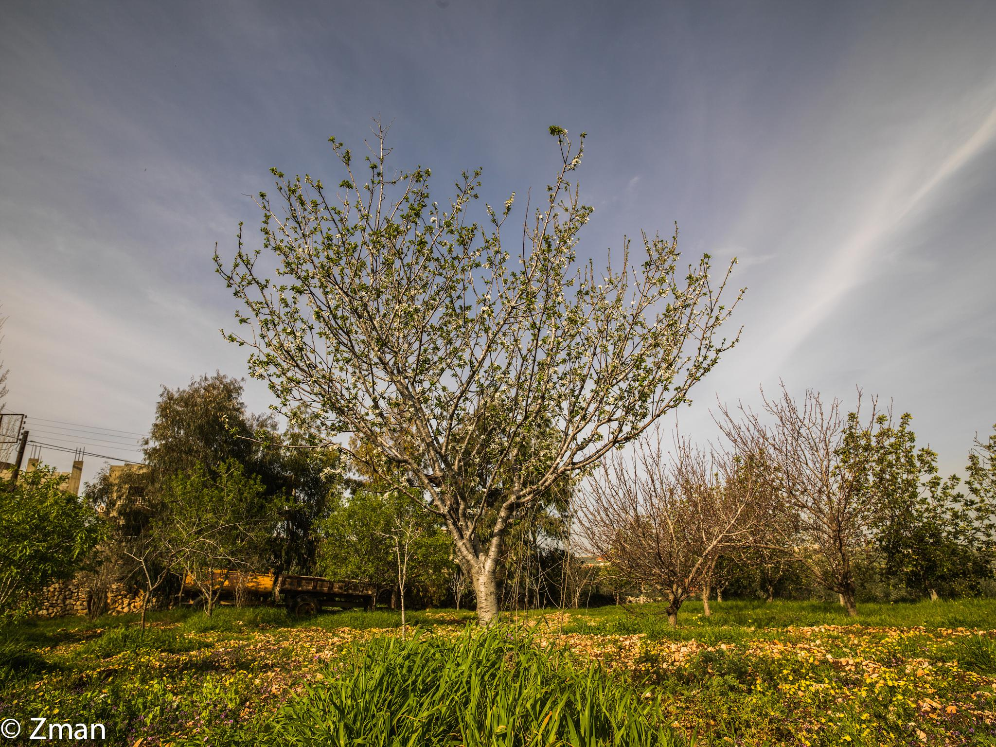 Apricot Tree Getting Ready To Bloom 02 by muhammad.nasser.963