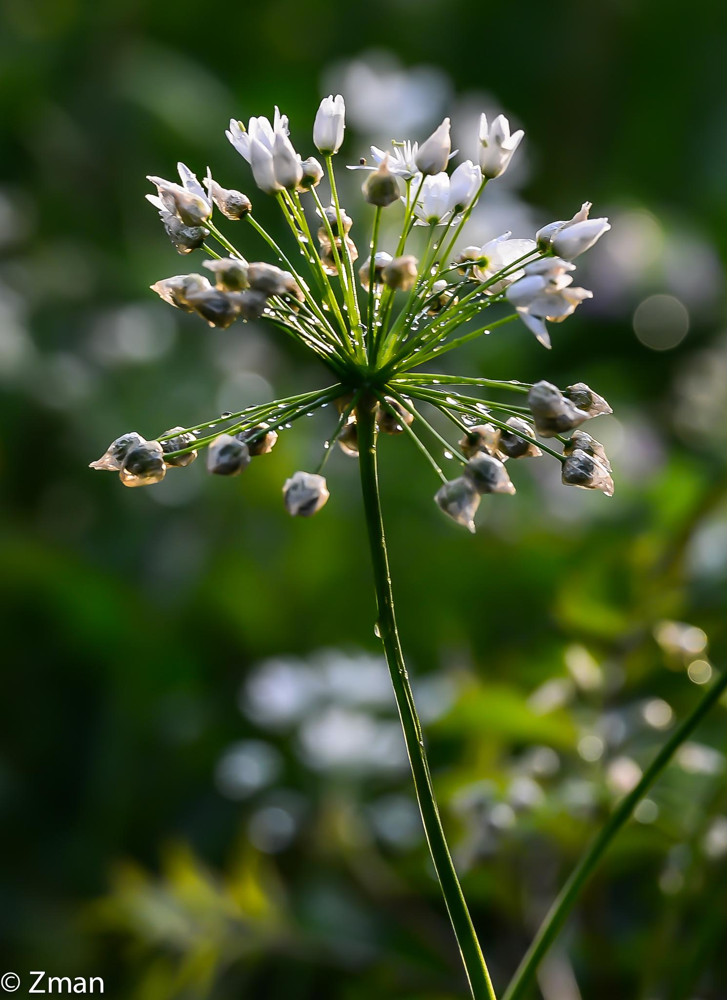 White Wild Flower In The Rain by muhammad.nasser.963