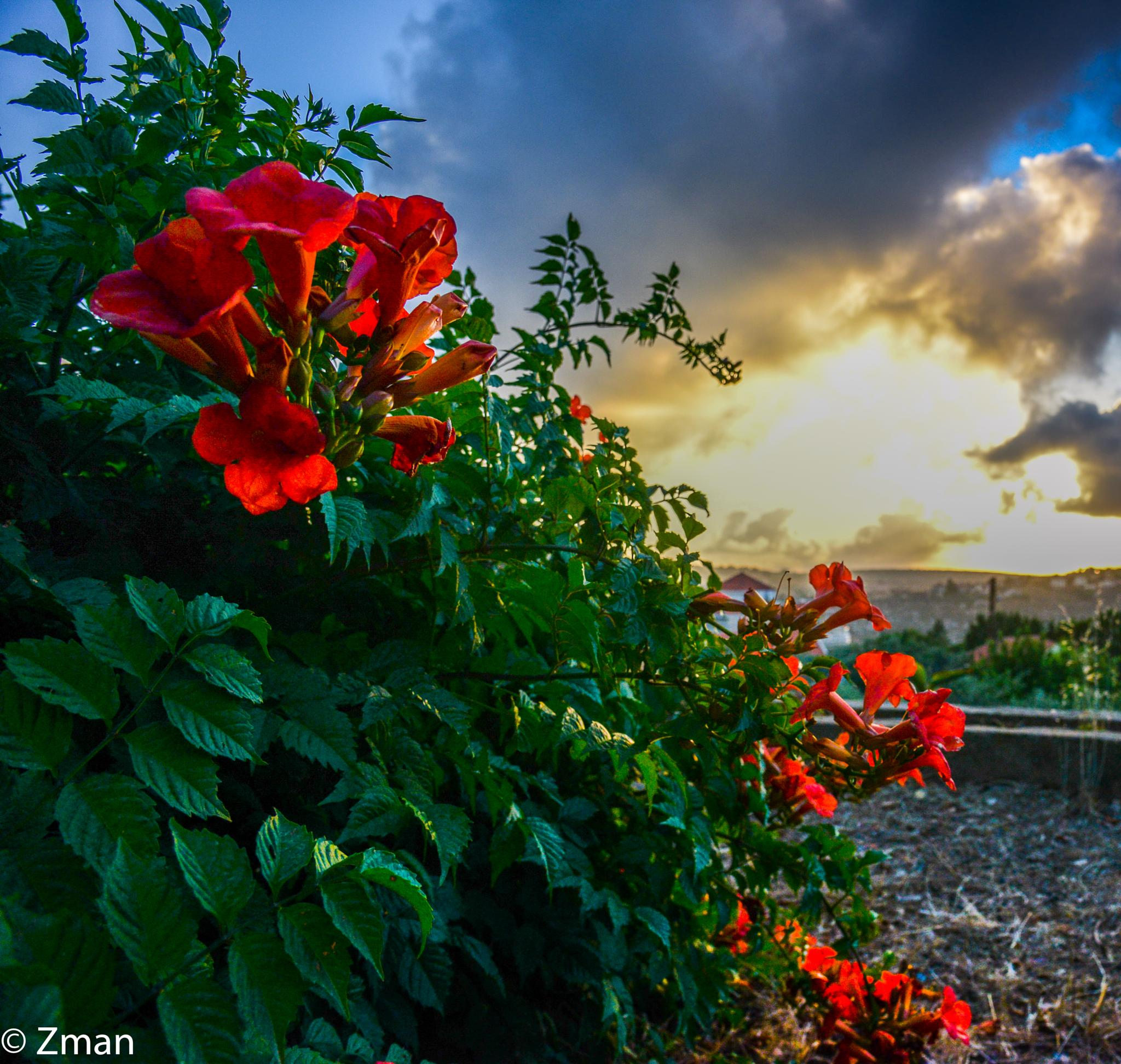 Red Flowers and The Sunset by muhammad.nasser.963