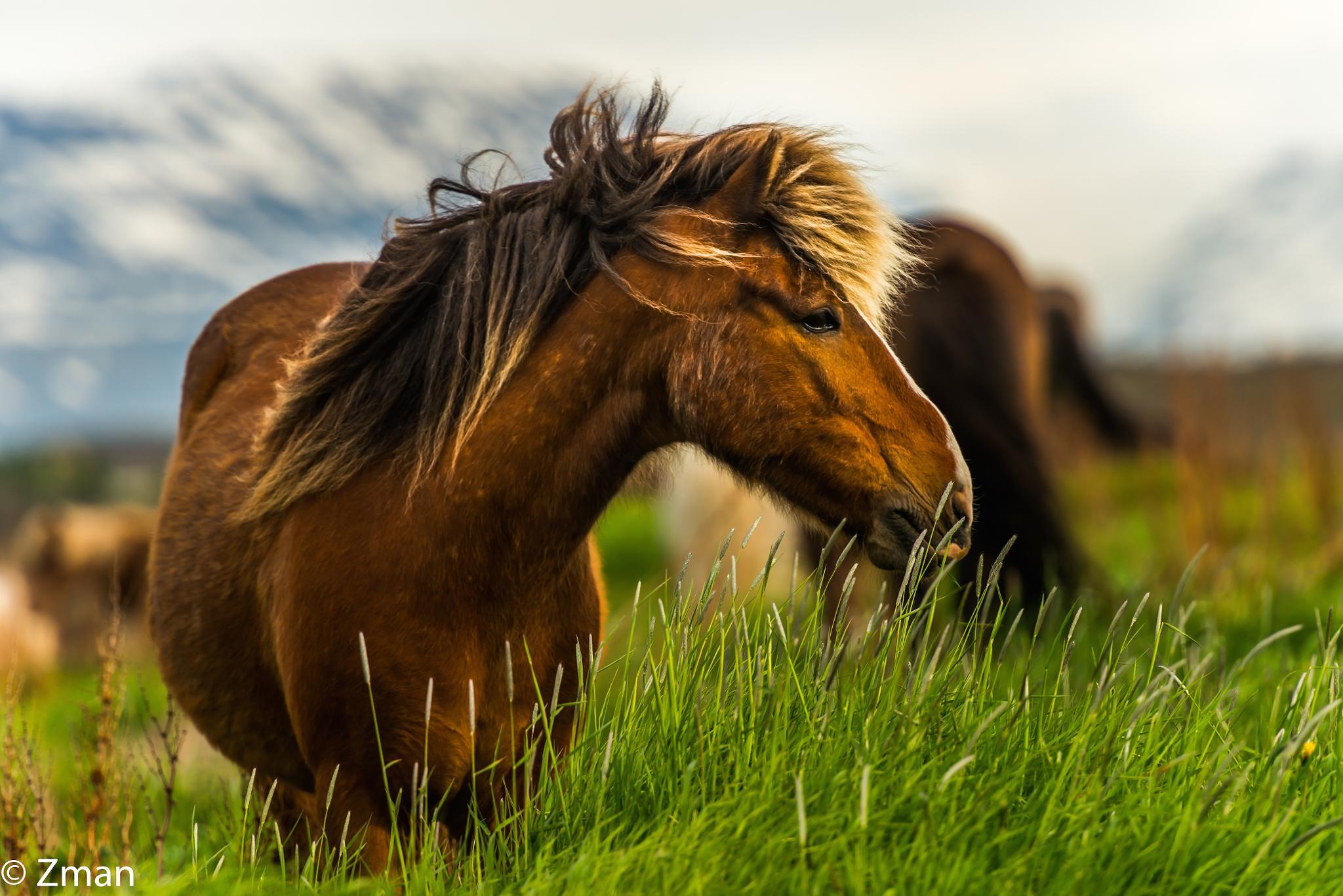 The Icelandic Horse 02 by muhammad.nasser.963